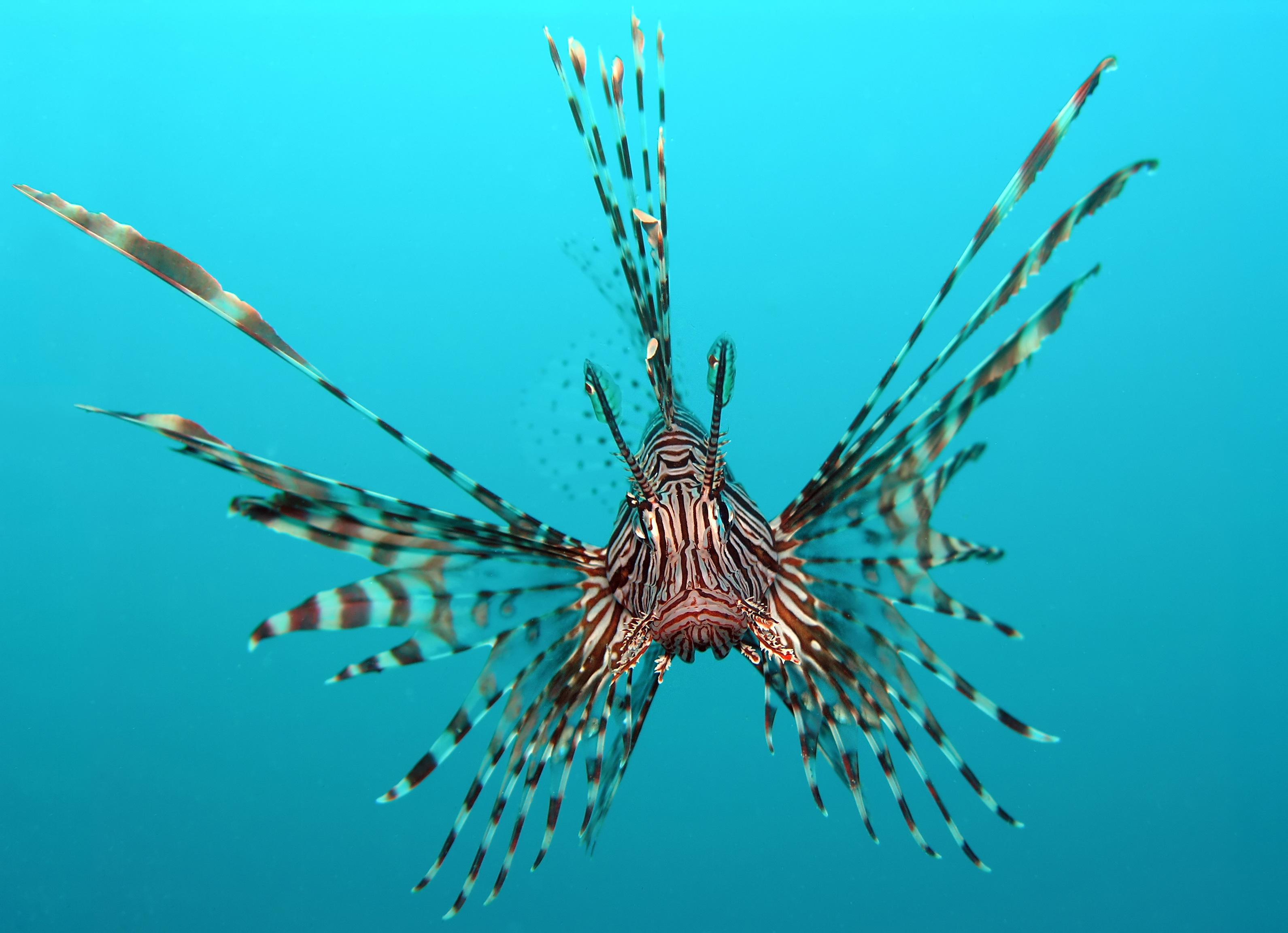 Flying lionfish photo