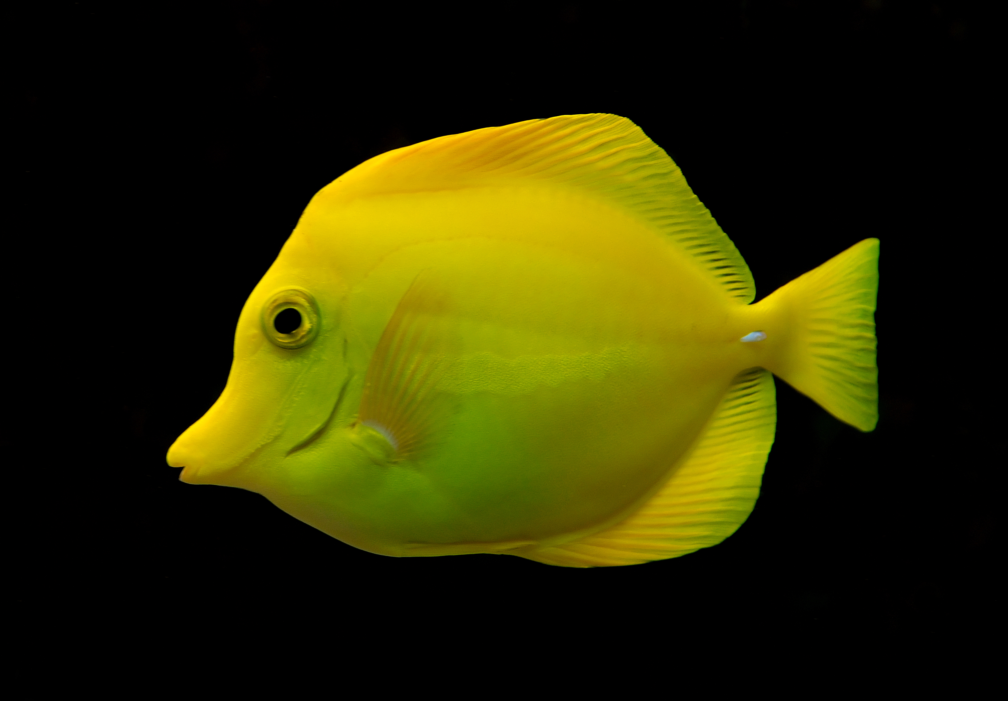 Fish on yellow photo