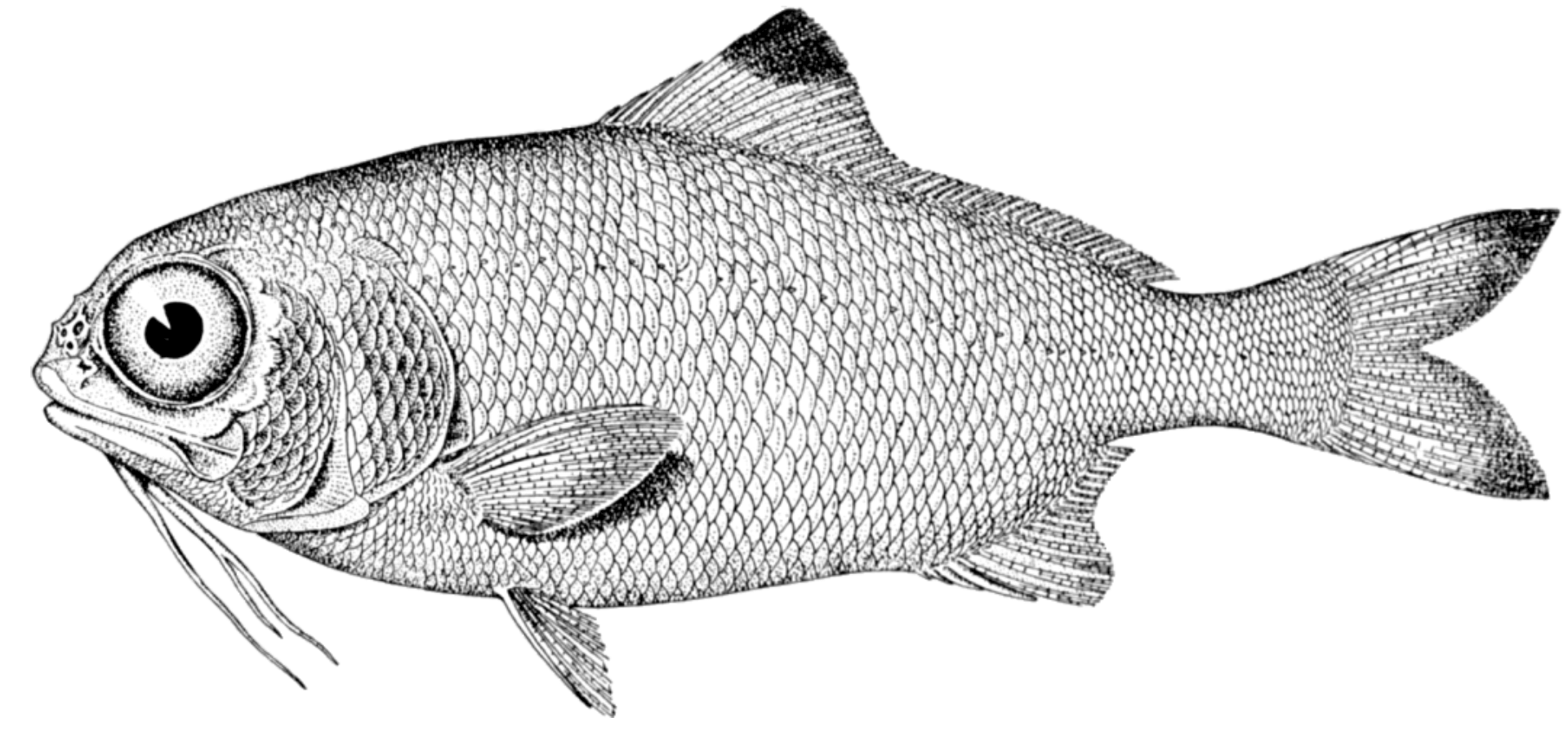 Free Photo Fish Sketch Animal Creature Fish Free Download Jooinn