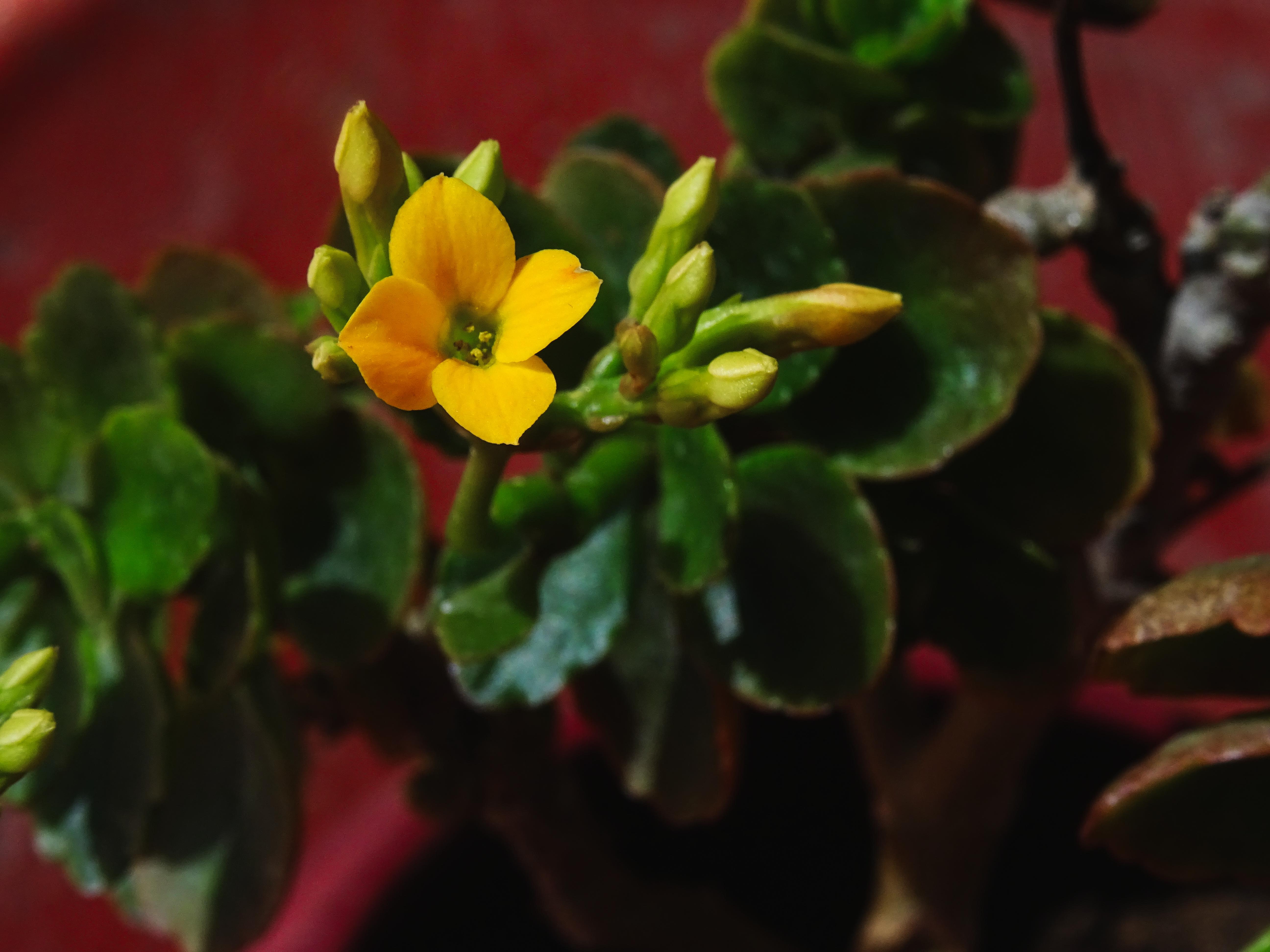 Flaming Katy - Kalanchoe blossfeldiana, Exotic, Flaming, Flower, Leaf, HQ Photo