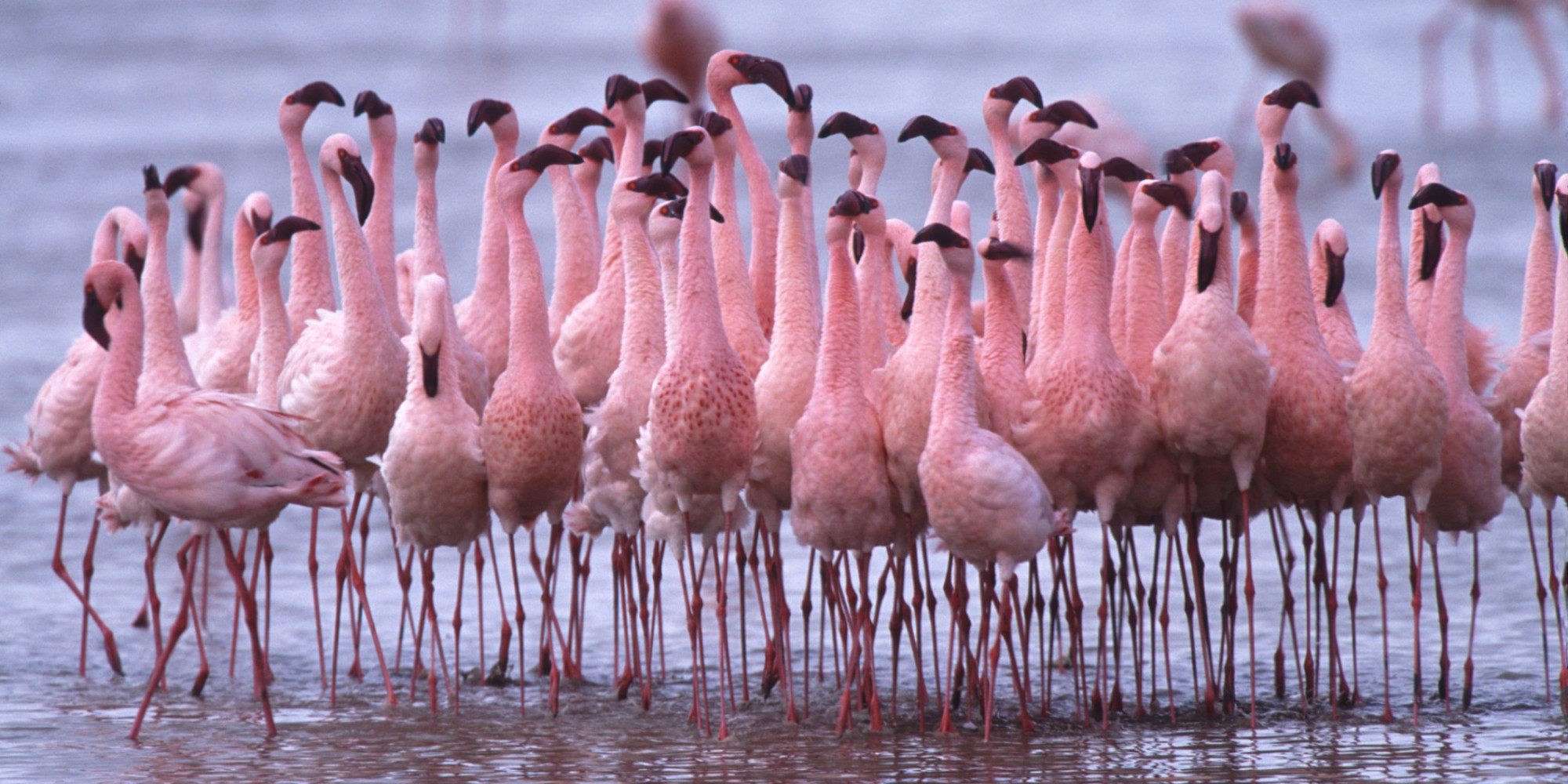Flamingos: A Makeover for the Flame Birds | HuffPost