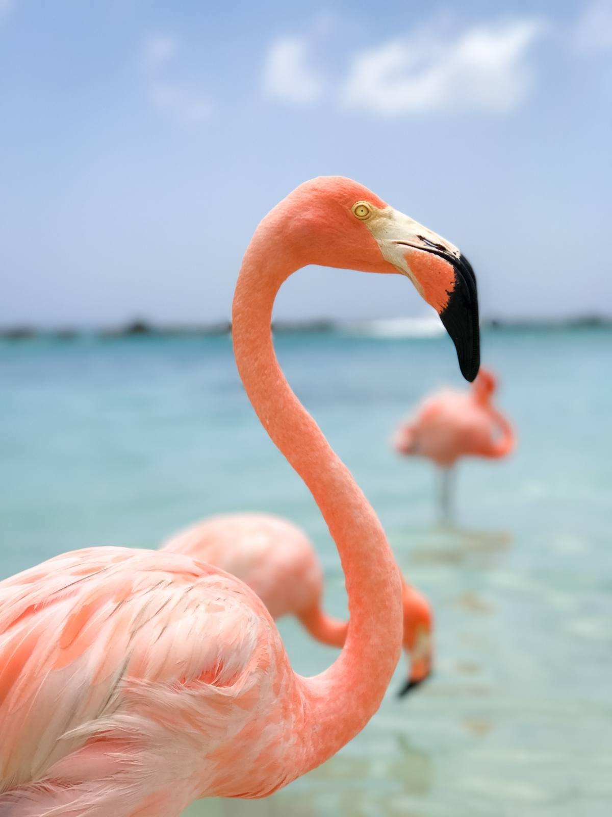 Flamingos photo