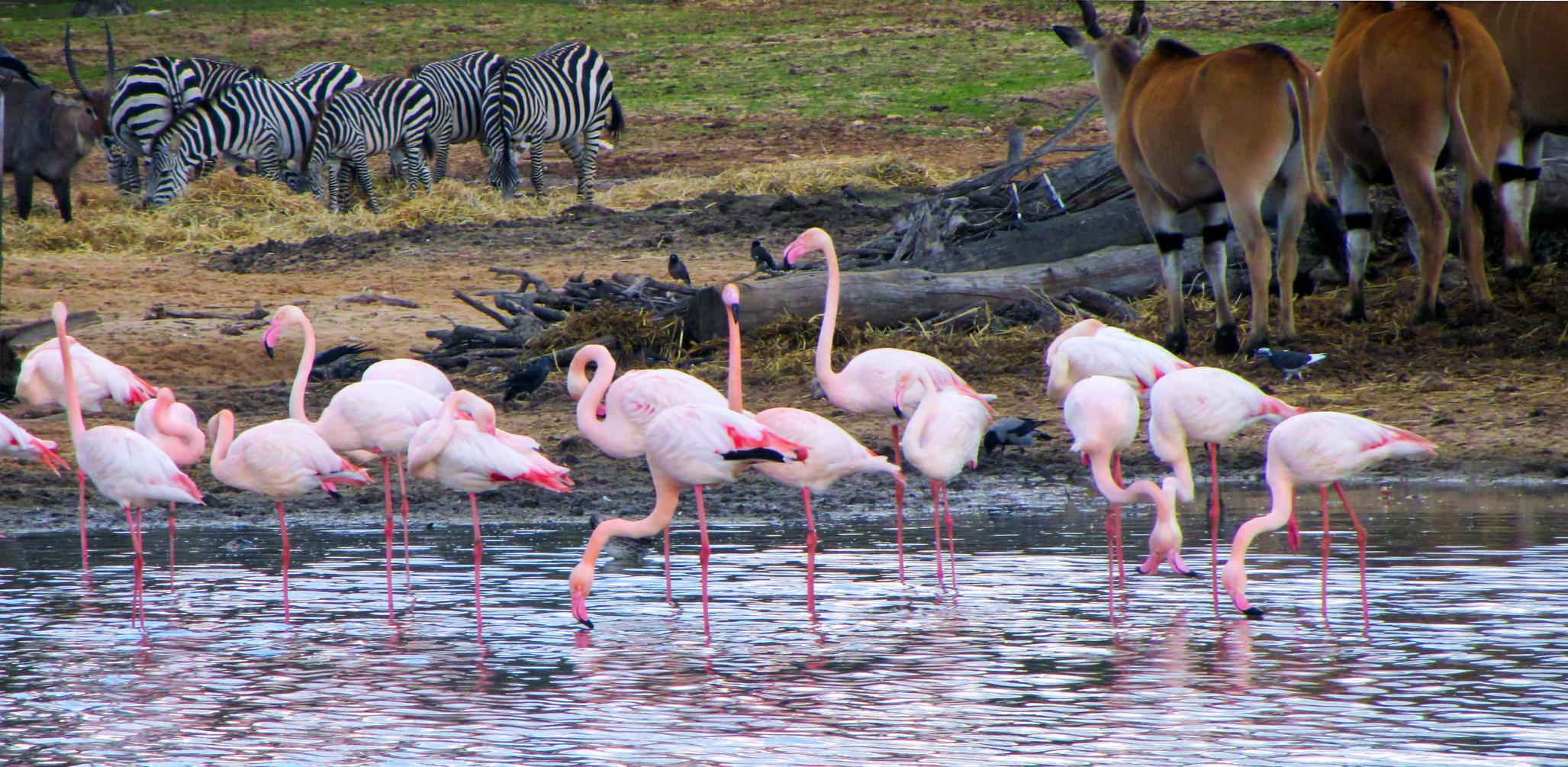 Flamingos, zebras and a wildebeast photo