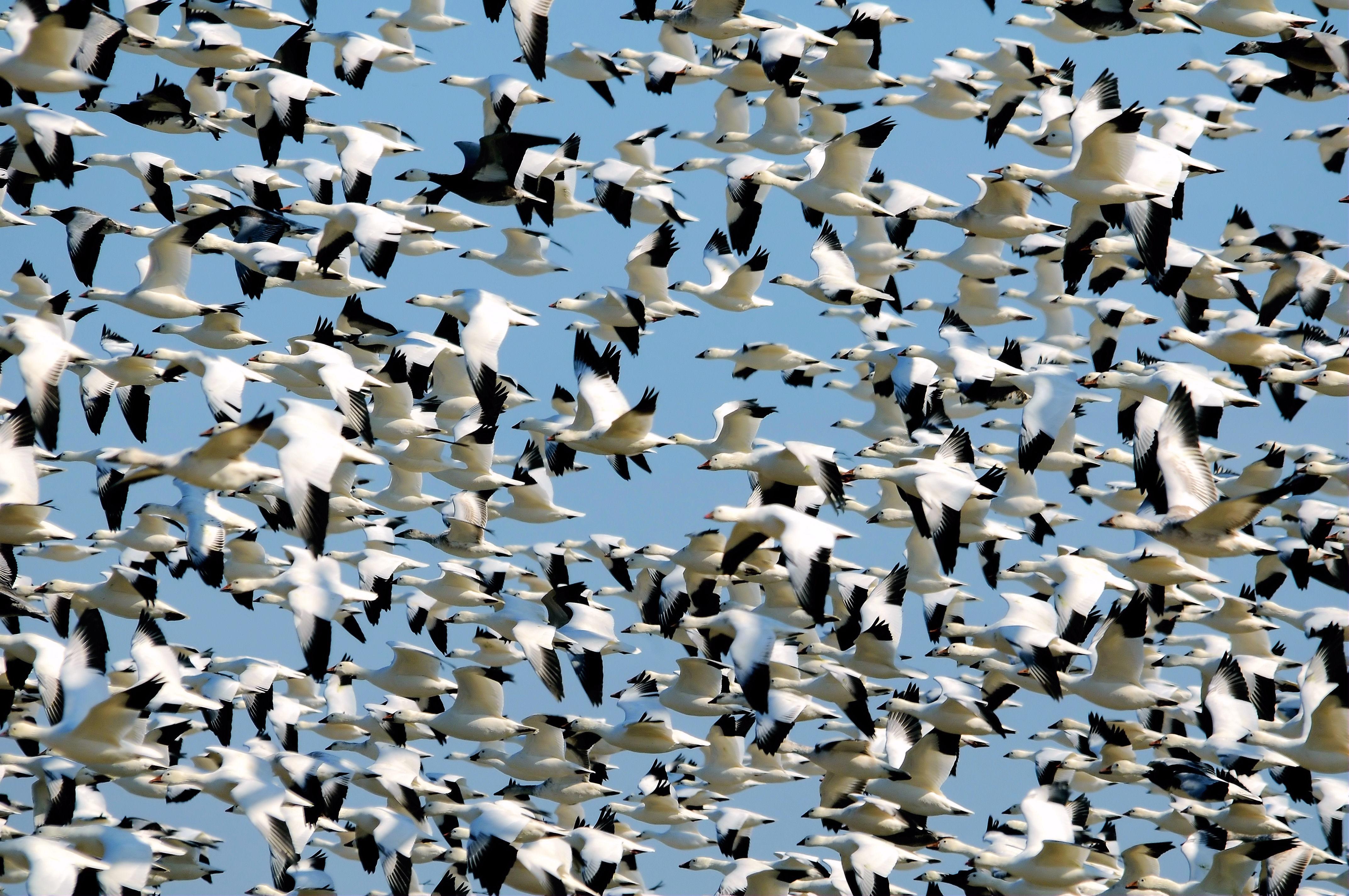 Free Photo Flock Fly Sky Wings Free Download Jooinn
