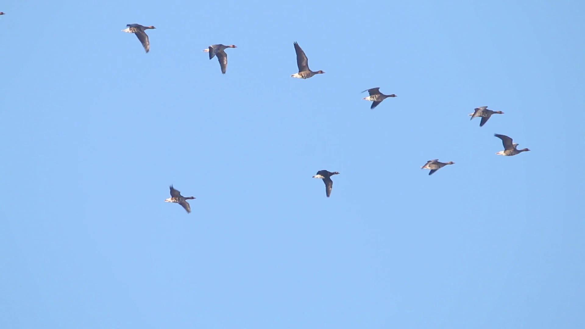 Birds flying in loose formation Stock Video Footage - Videoblocks