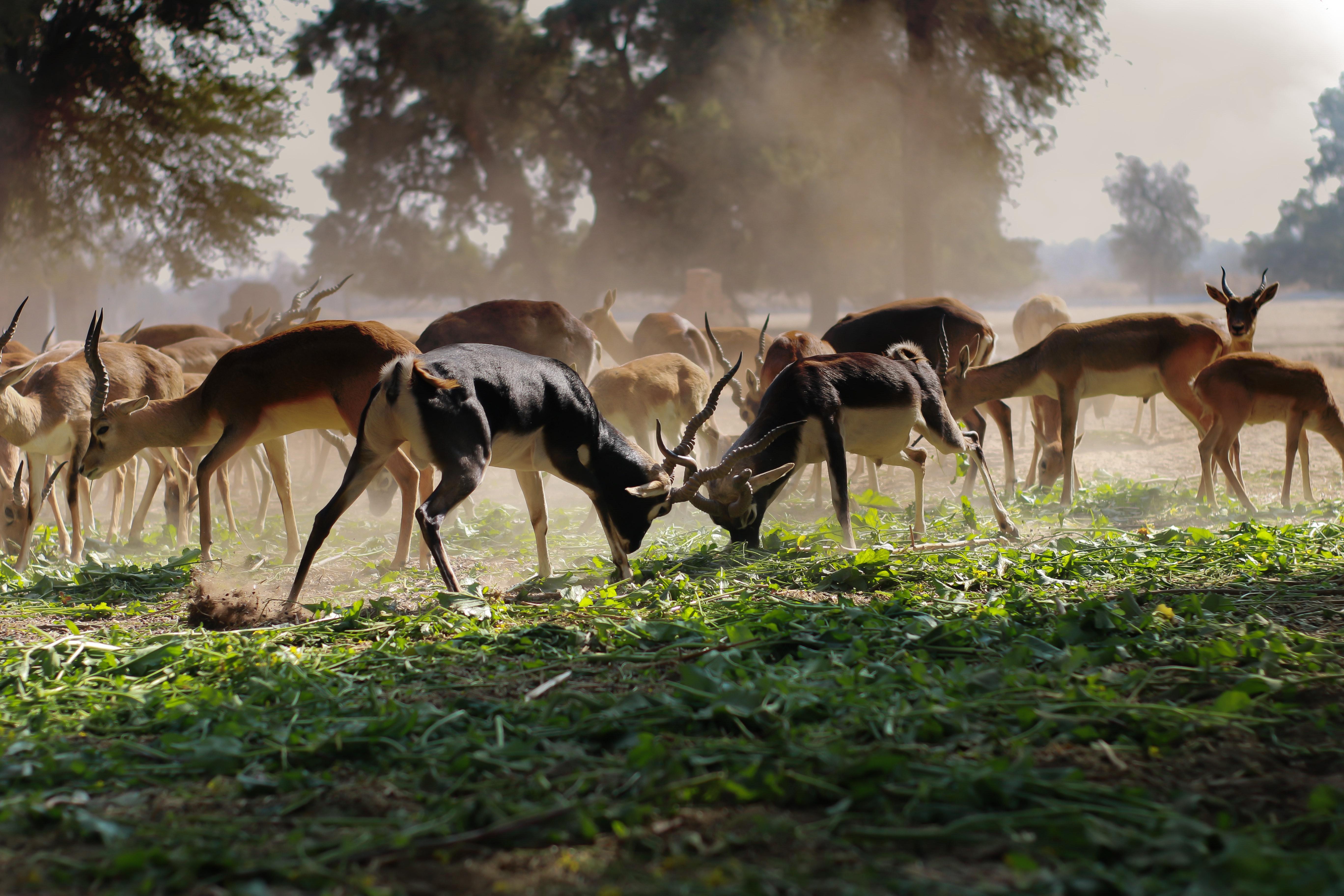 Flock of Brown Deer on Green Grass Field, Nature, Mammal, Impala, Horns, HQ Photo