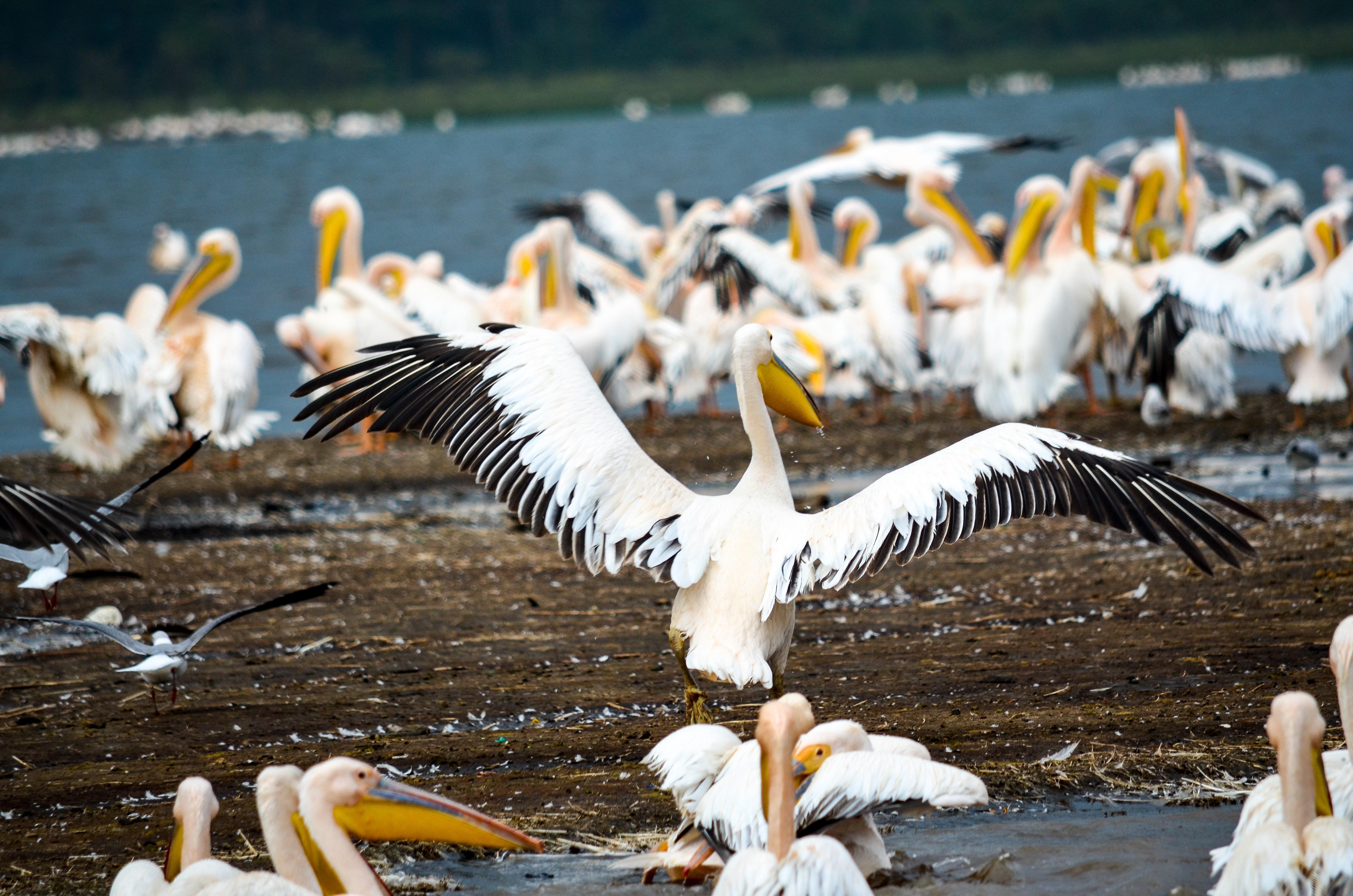 Flock of pelicans in seashore photo