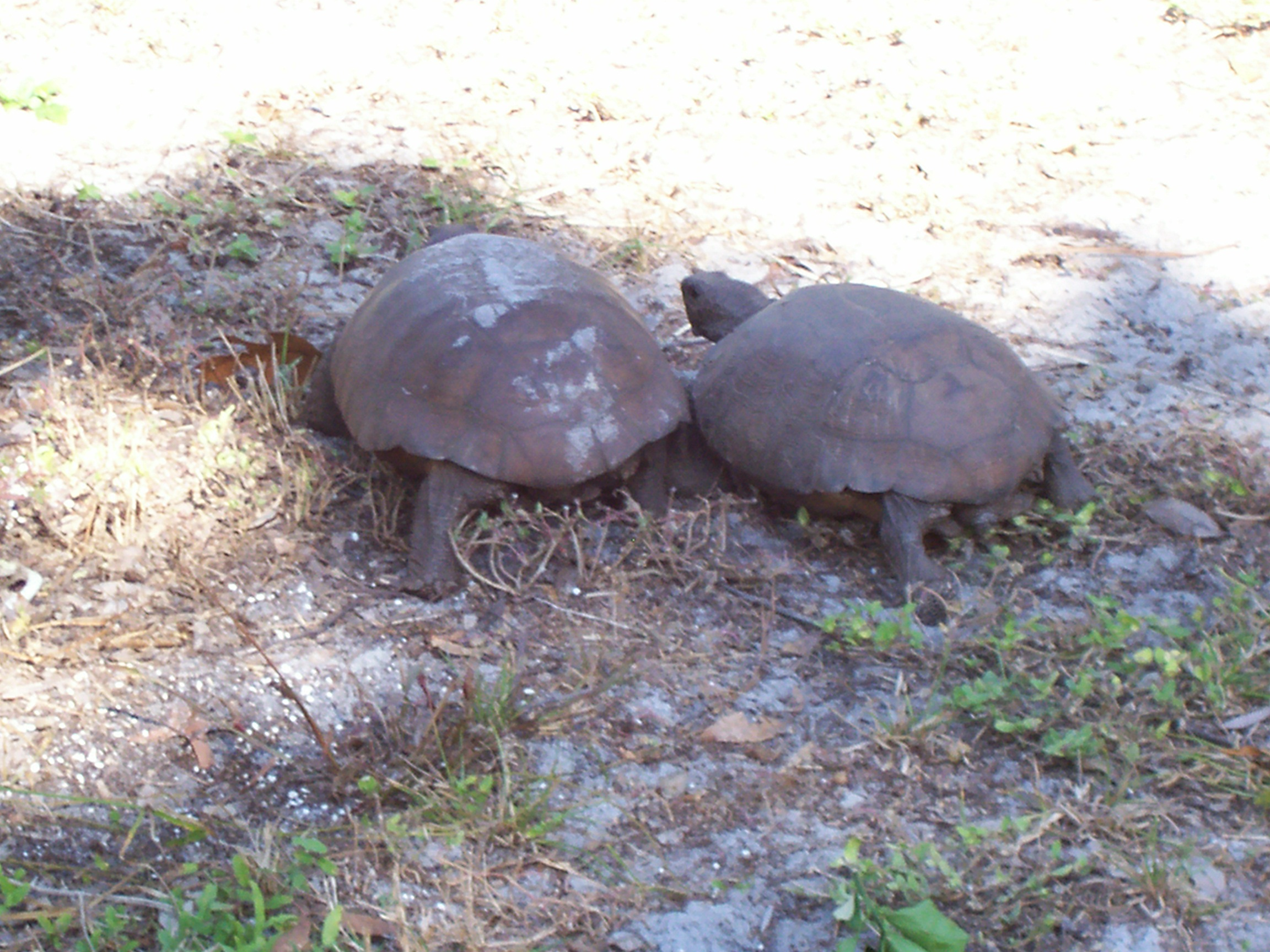 Florida endangered gopher tortoise photo