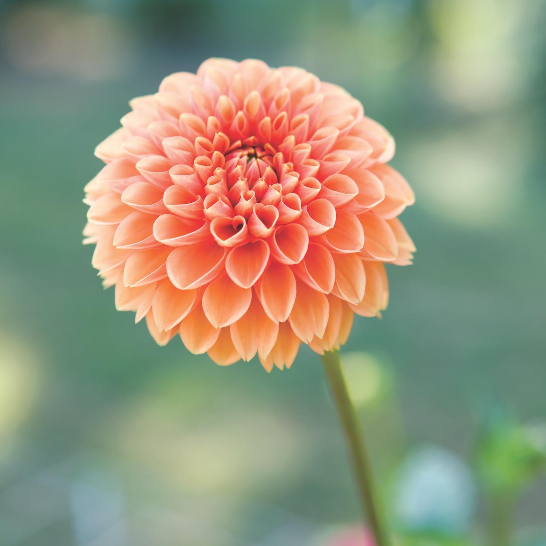 Dramatic Dahlia Flowers - Flower Magazine
