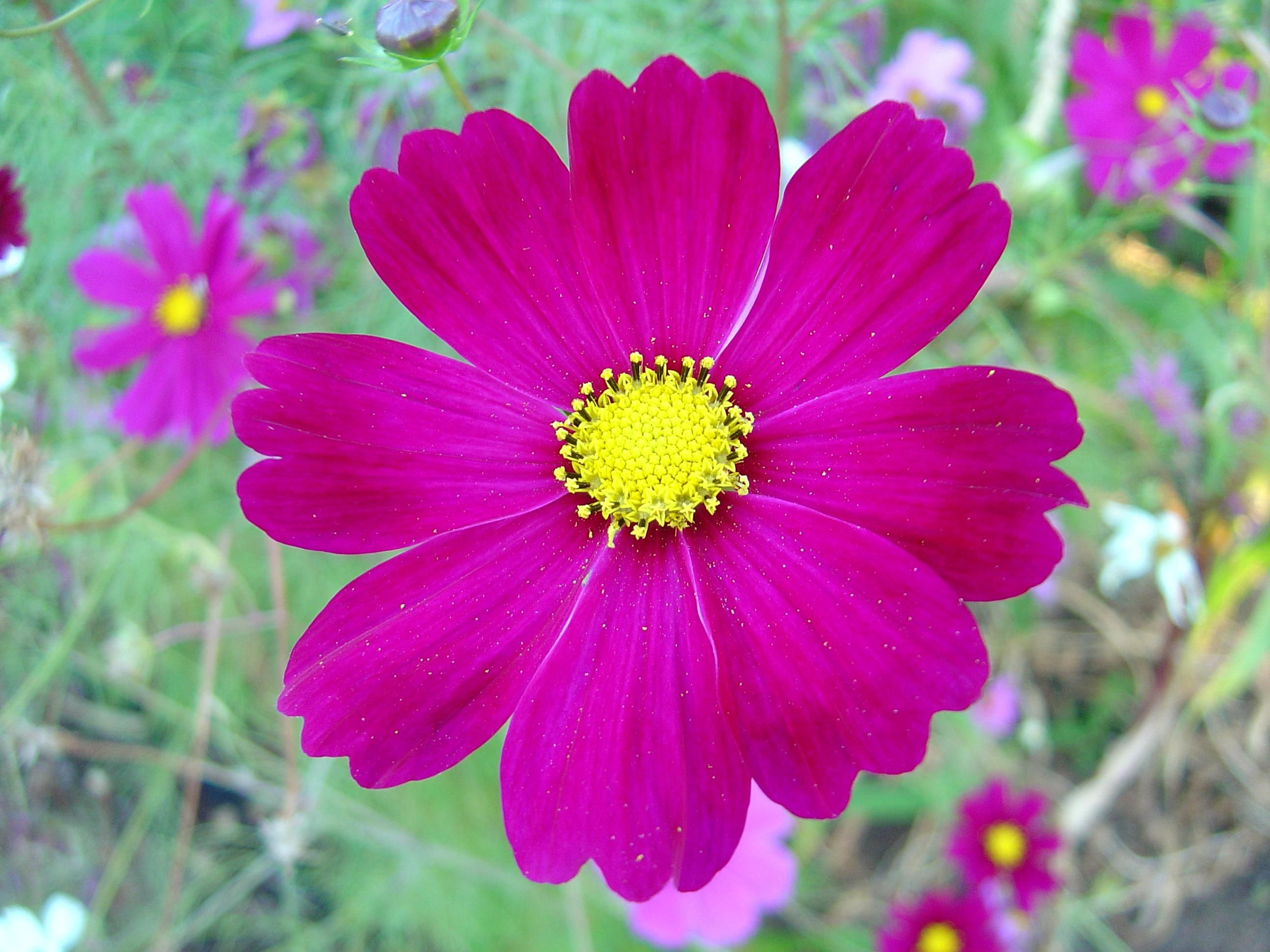 File:Dark pink cosmos flower.jpg - Wikimedia Commons