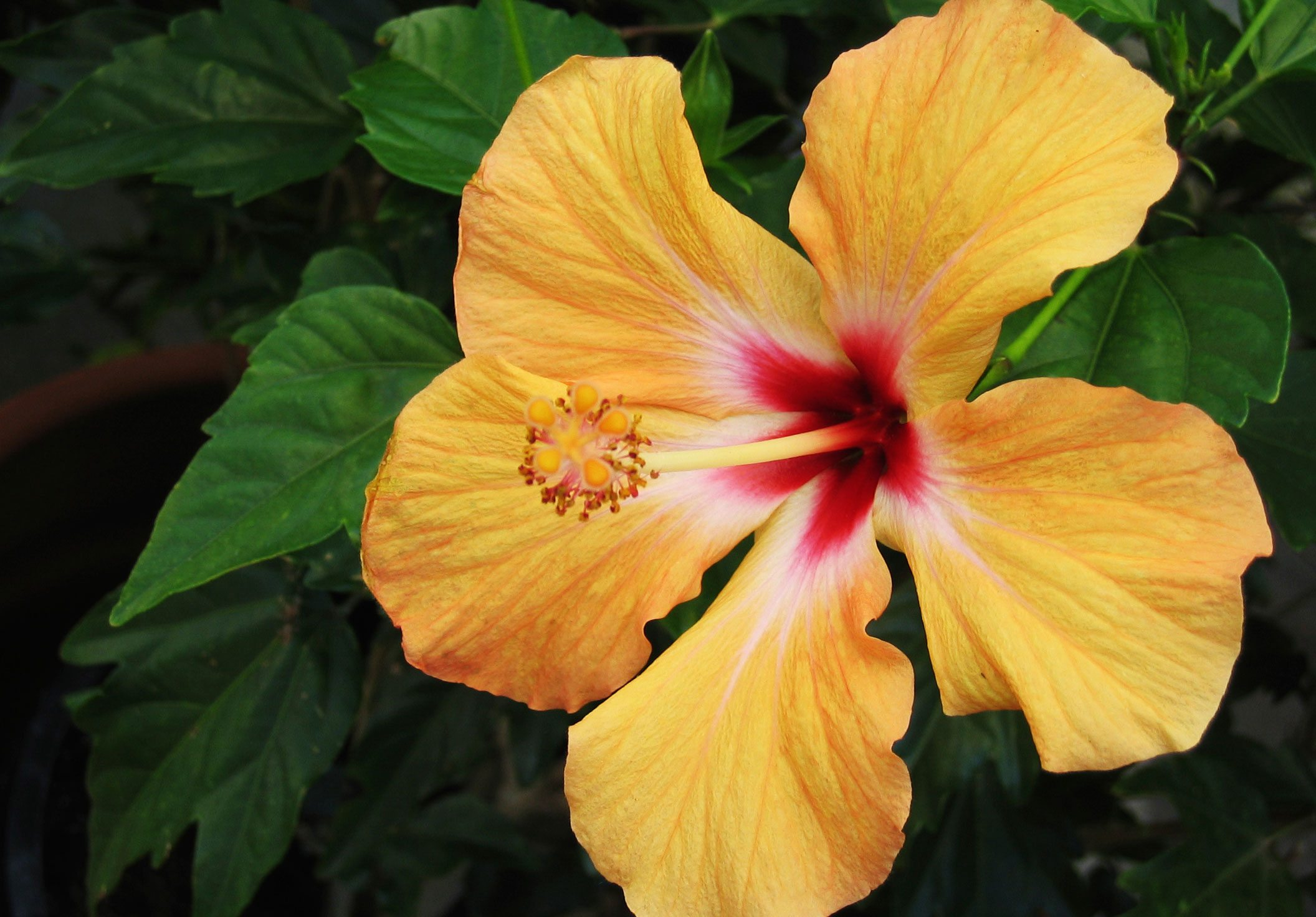 Free Photo Hibiscus Flower Red Wallpaper Nature Free Download