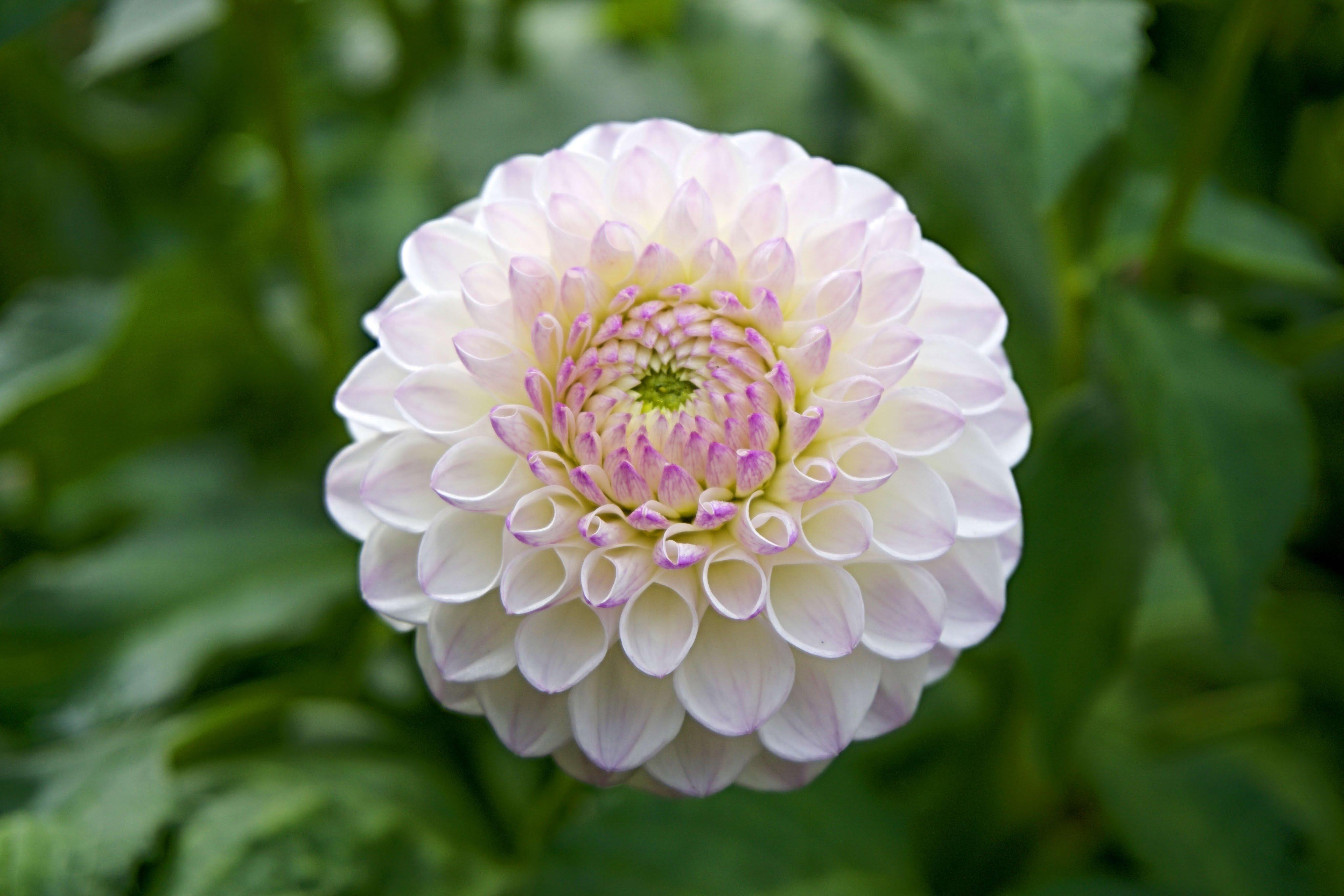 The Beauty Of Dahlia Flower For Your Garden - YouTube