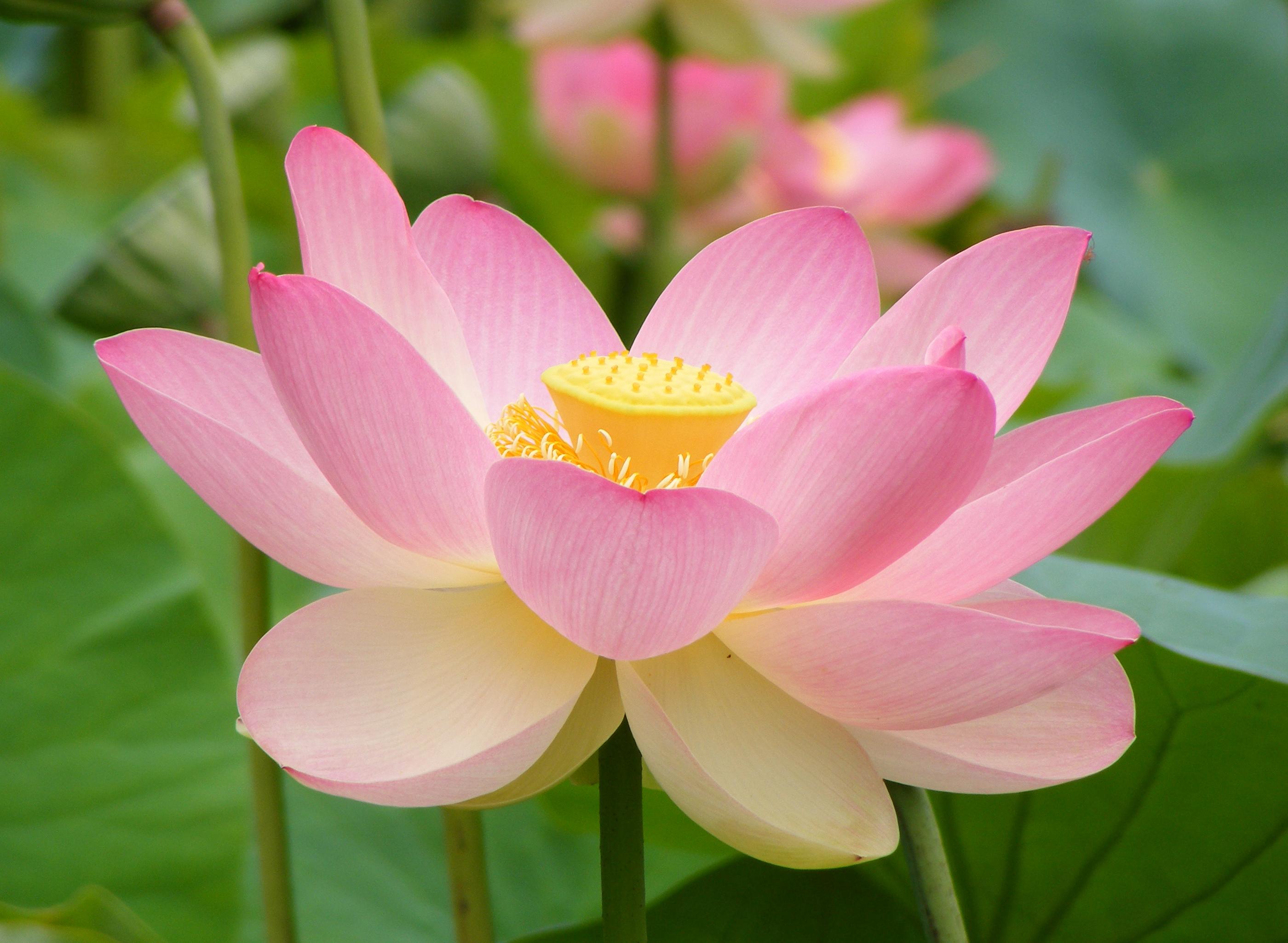 File:Nelumno nucifera open flower - botanic garden adelaide2.jpg ...