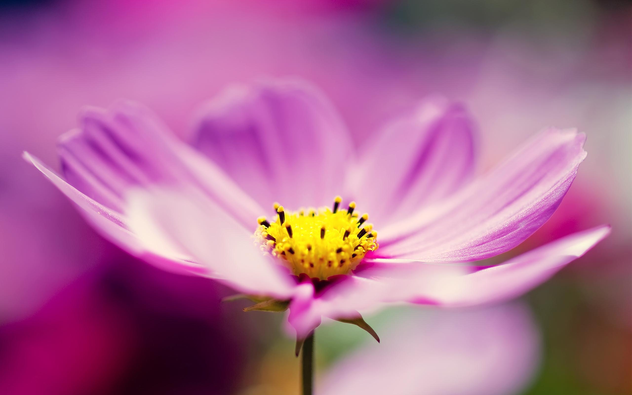 Wallpaper Purple Cosmos Flower Cosmos, flower, Flowers, Purple
