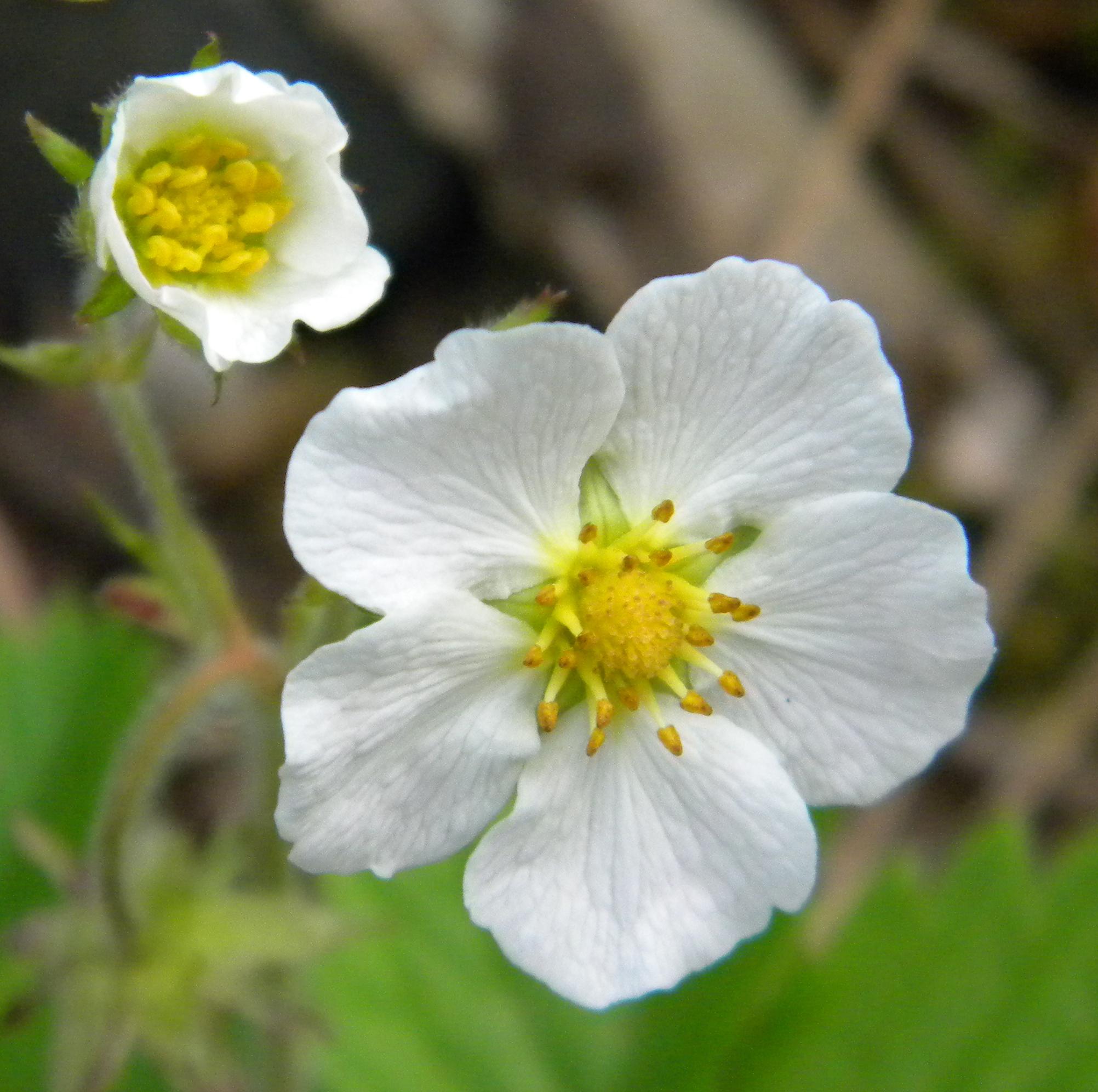 Woodland Strawberry Flower Essence - Flower Essences | Flower ...