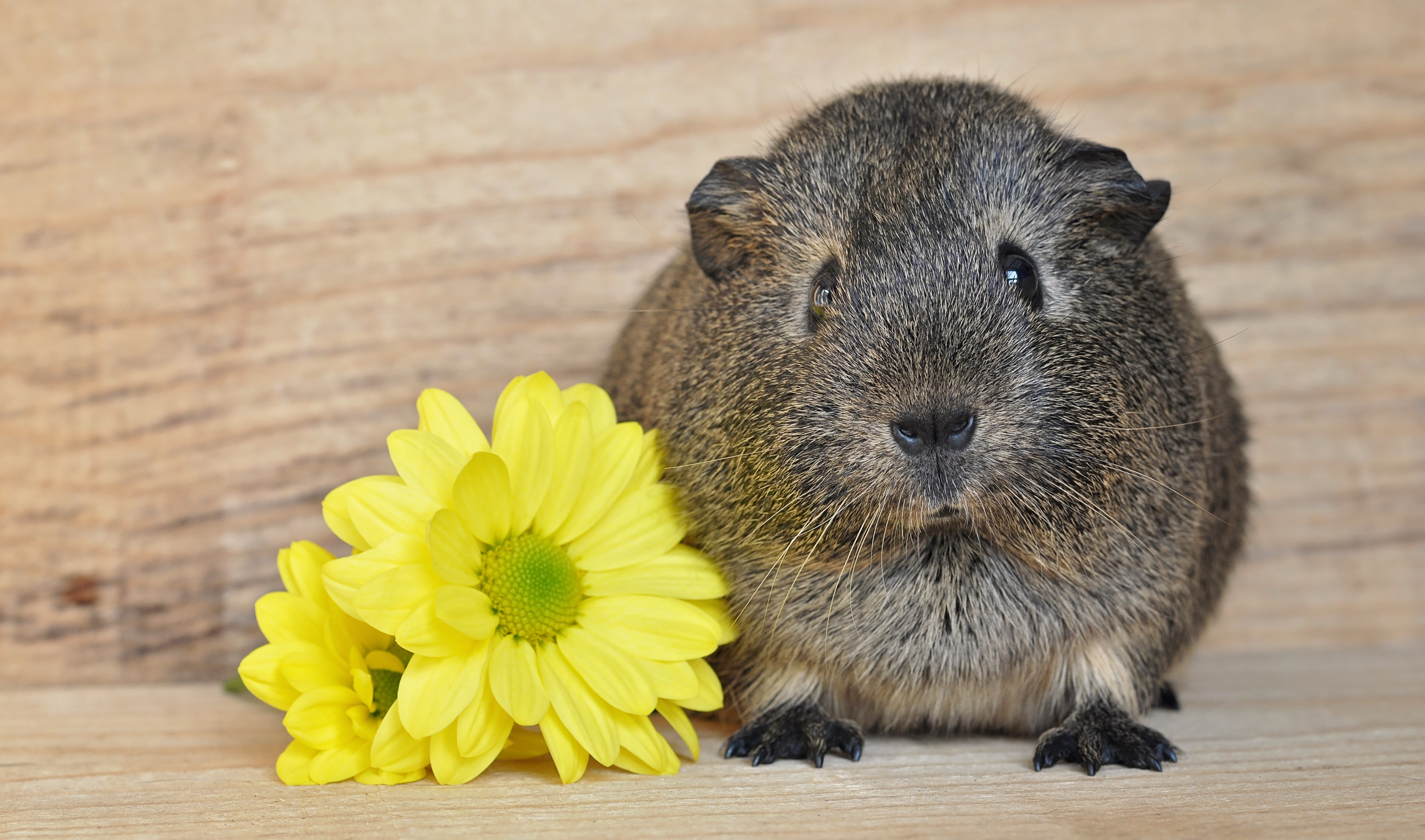 Flower and guinea pig photo