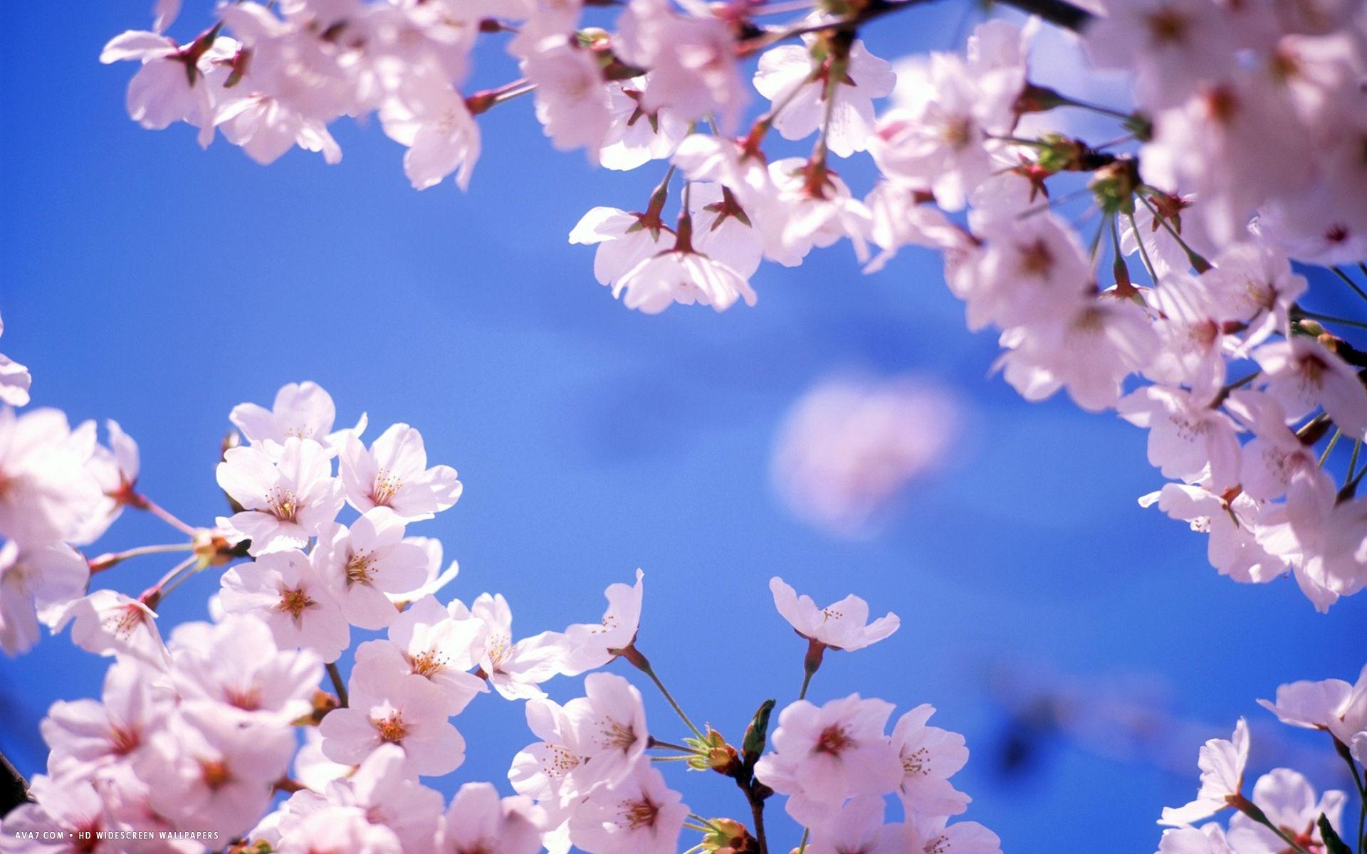 cherry blossom flower hd widescreen wallpaper / flowers backgrounds