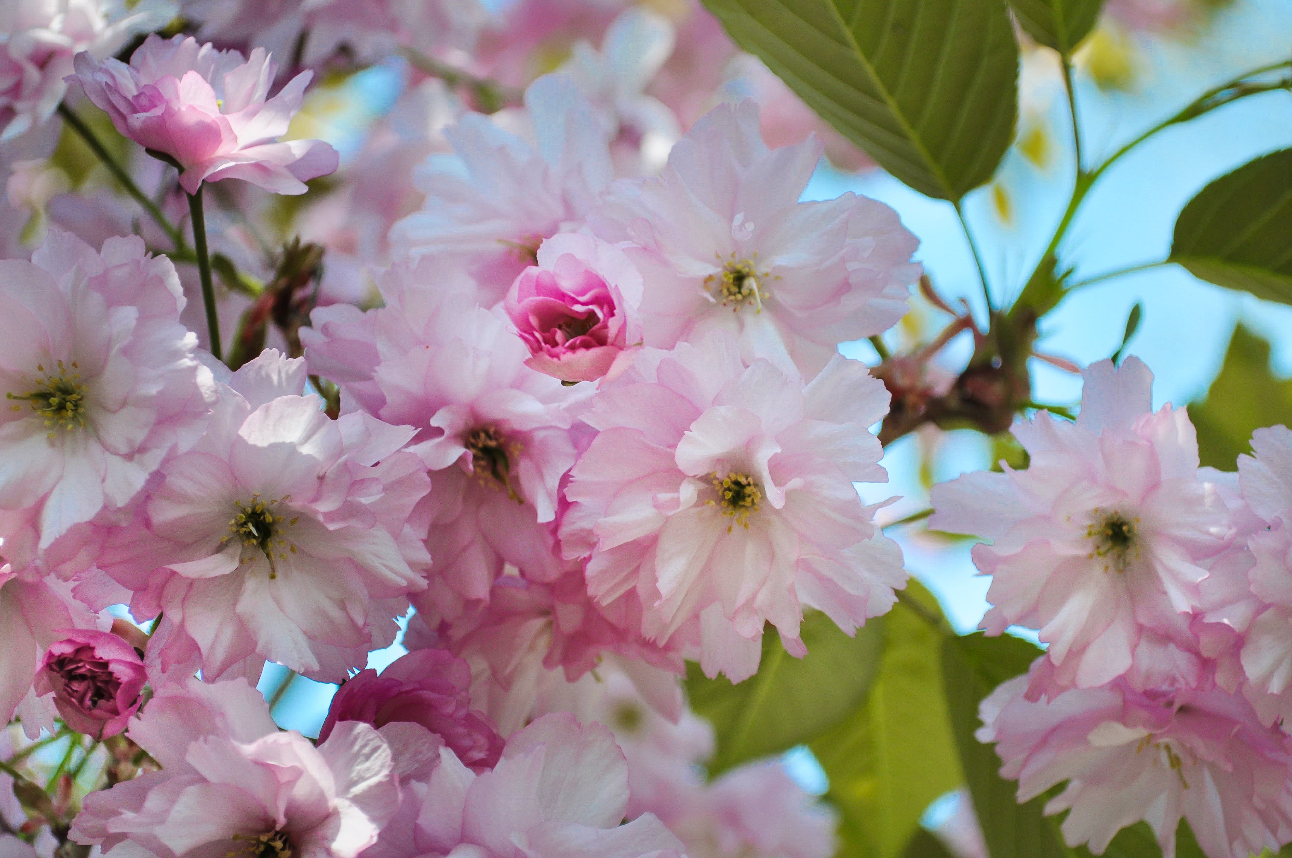 Free stock photo of blossoms, flower, pink