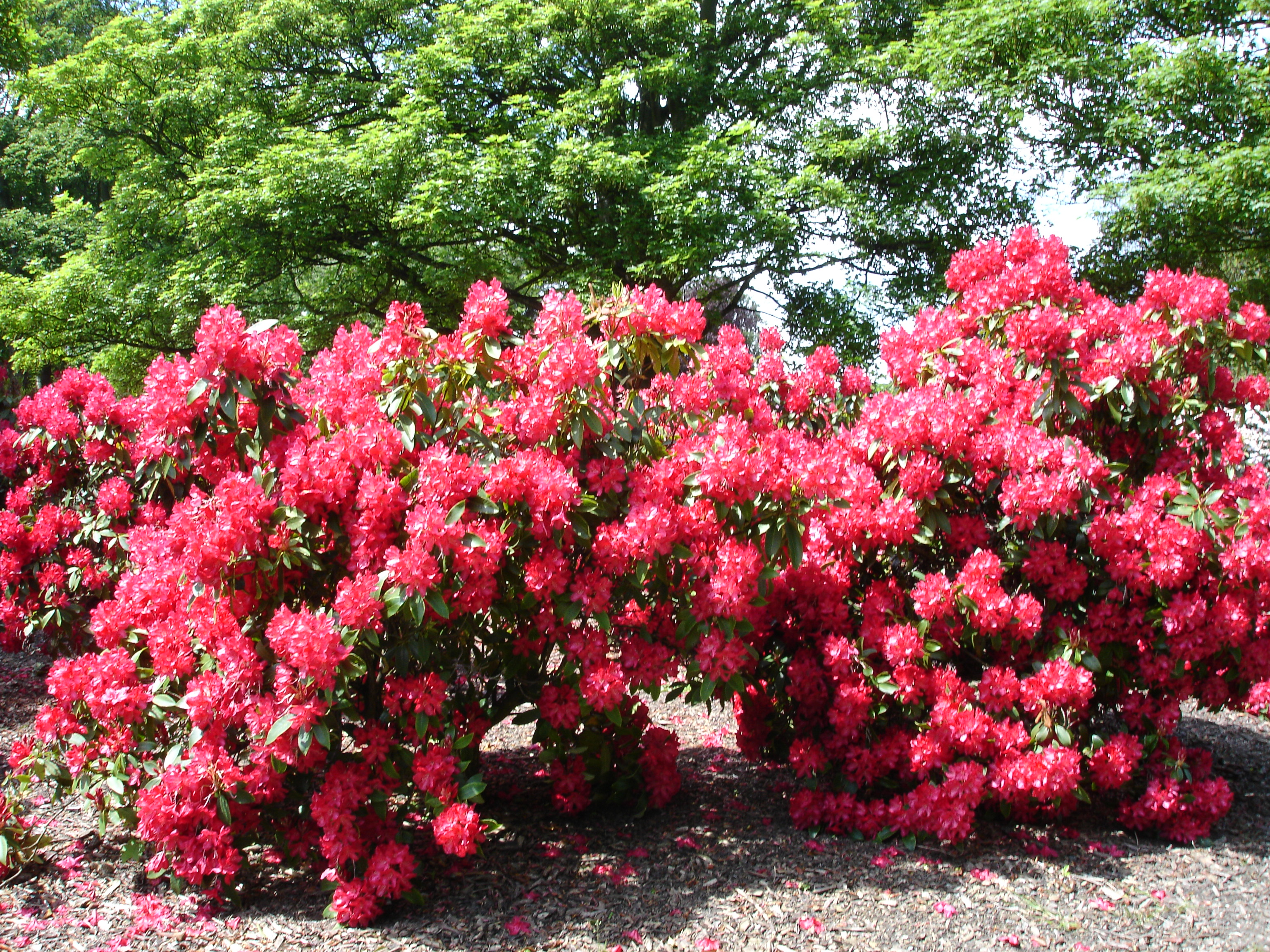 Free photo pink flowering bush pink tree shrub free download pink flowering bush mightylinksfo