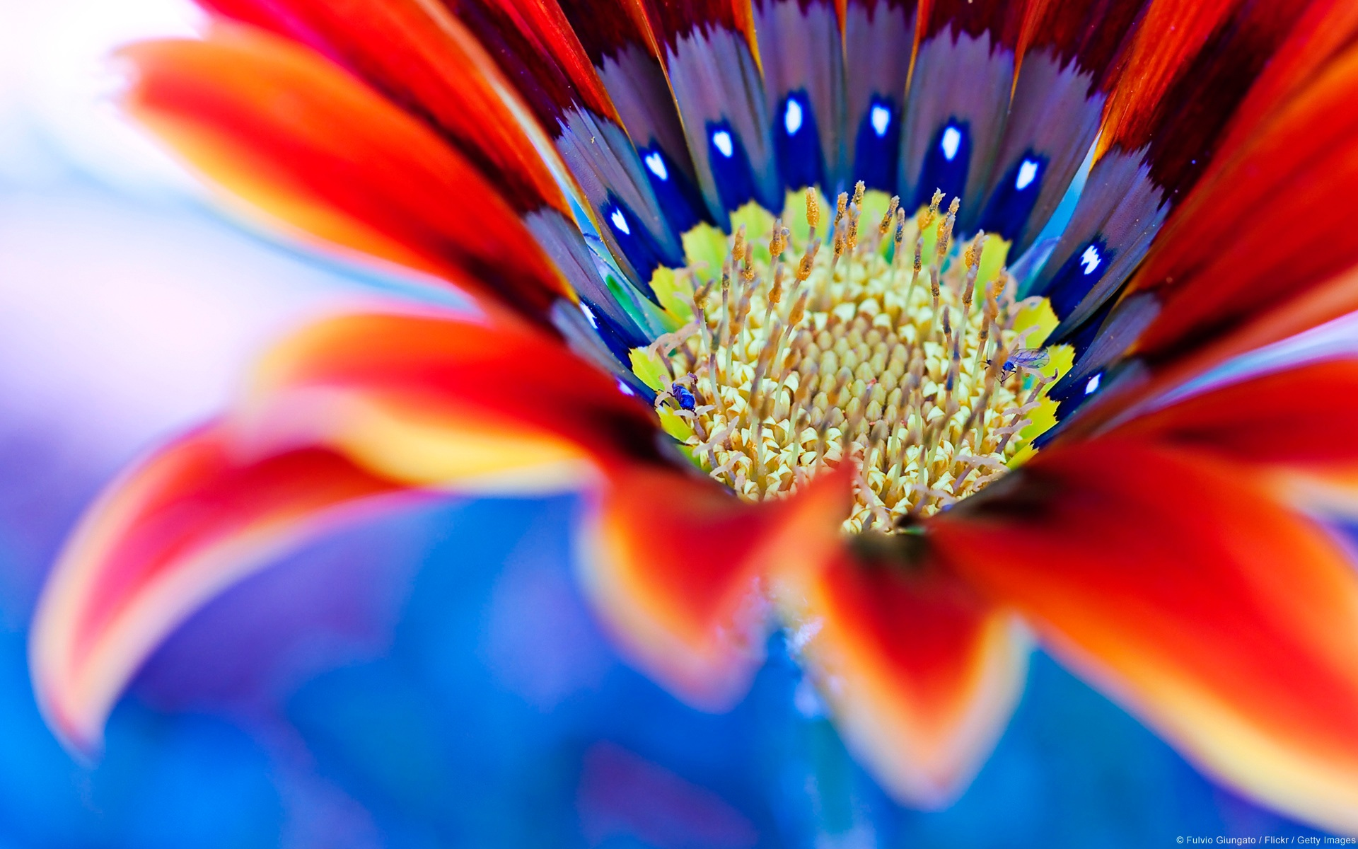 Red flower close-up wallpaper | flowers | Wallpaper Better