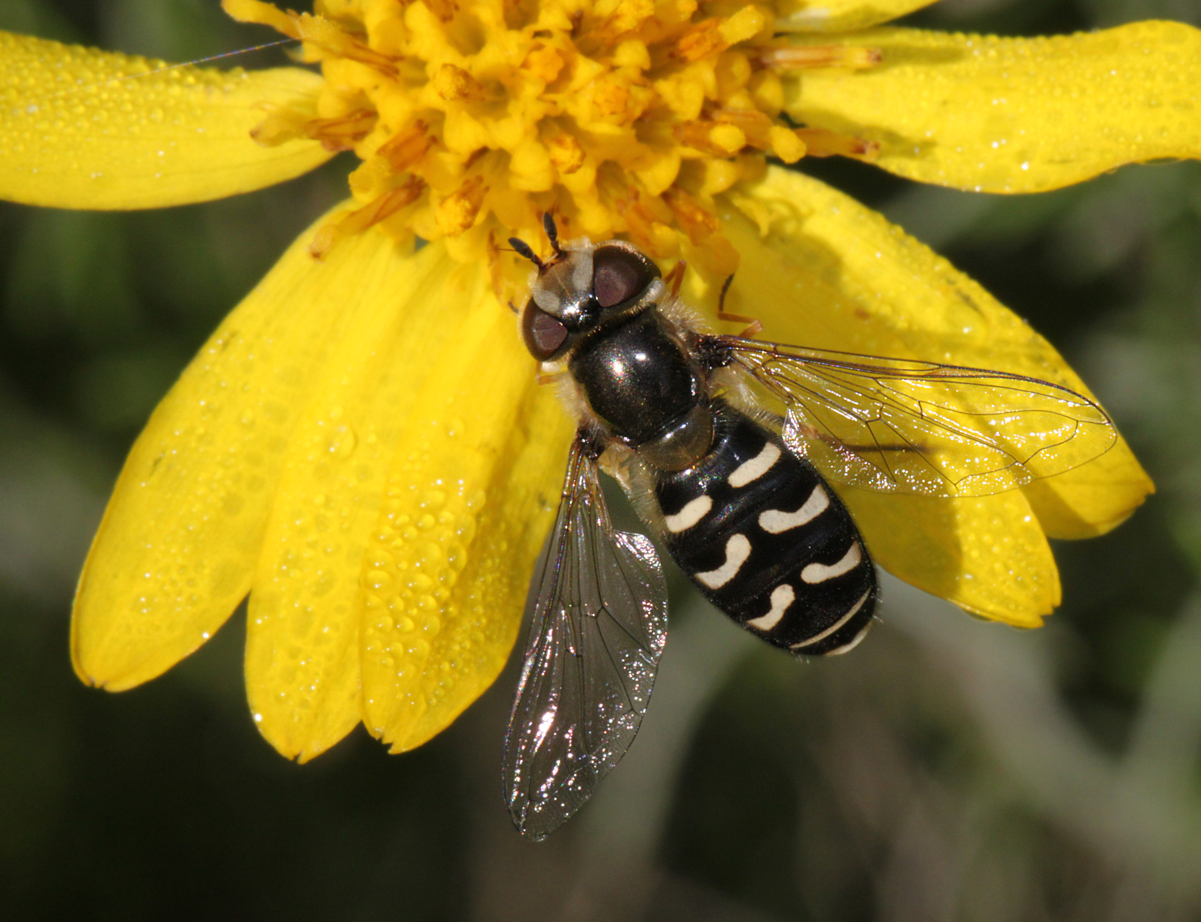 Flower fly sp (scaeva pyrastri?) (4-23-10) carrizo -03 photo