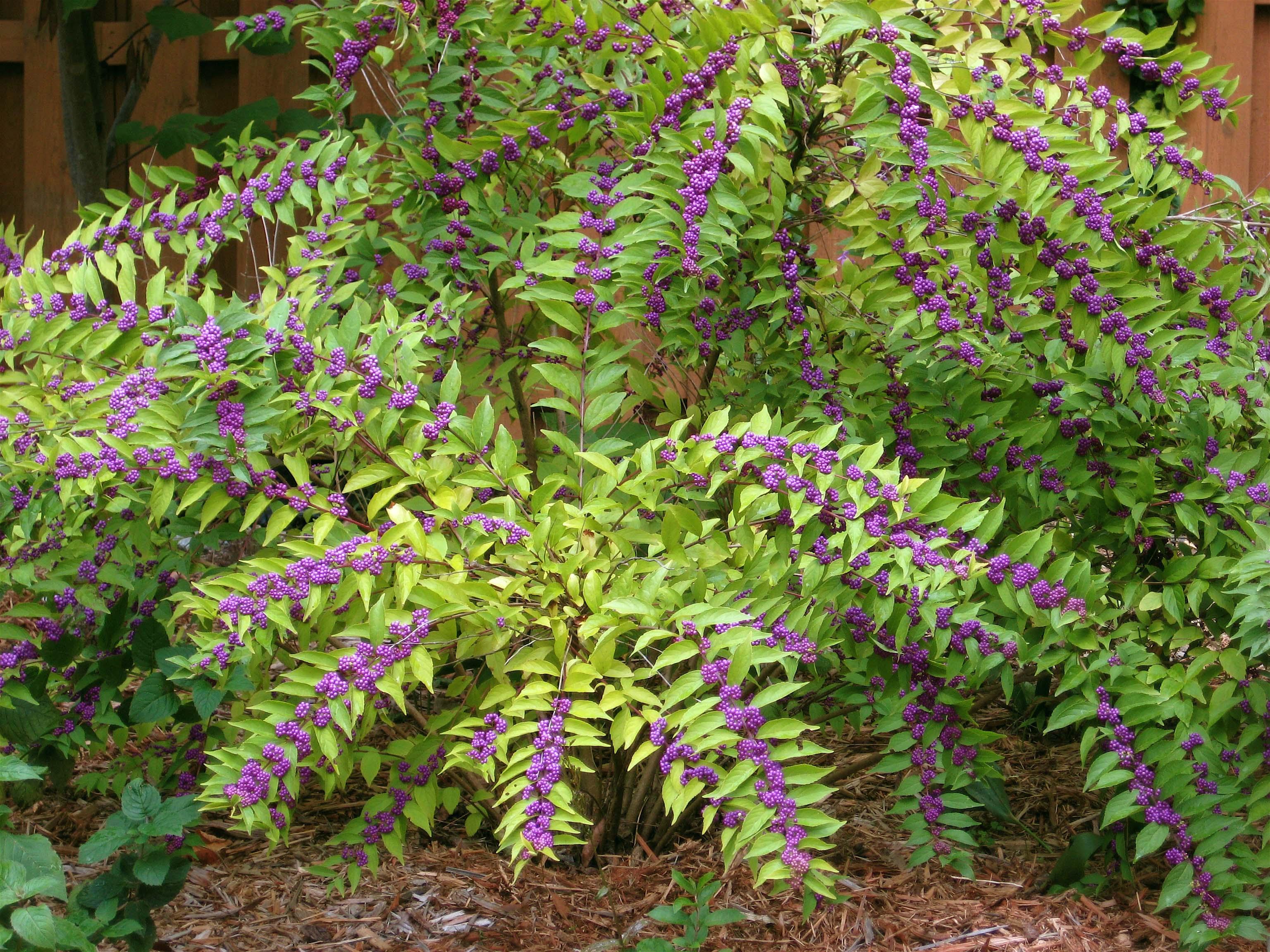 Flowering beauty bush photo