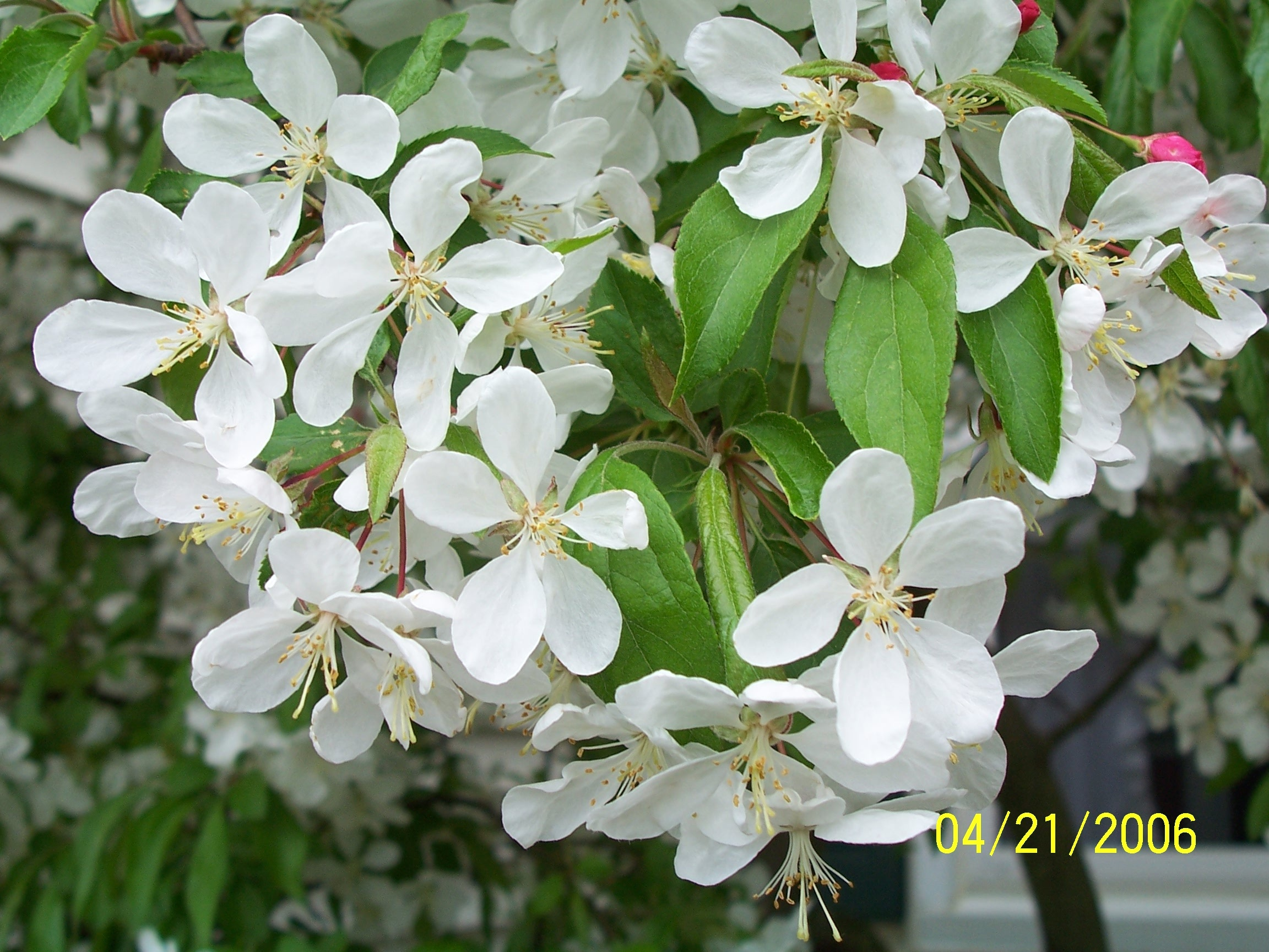 Free Photo Flowering Crab Apple Tree Tree White Spring Free