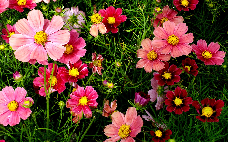 Wallpaper Cosmos, Pink, Garden, HD, Flowers, #1922