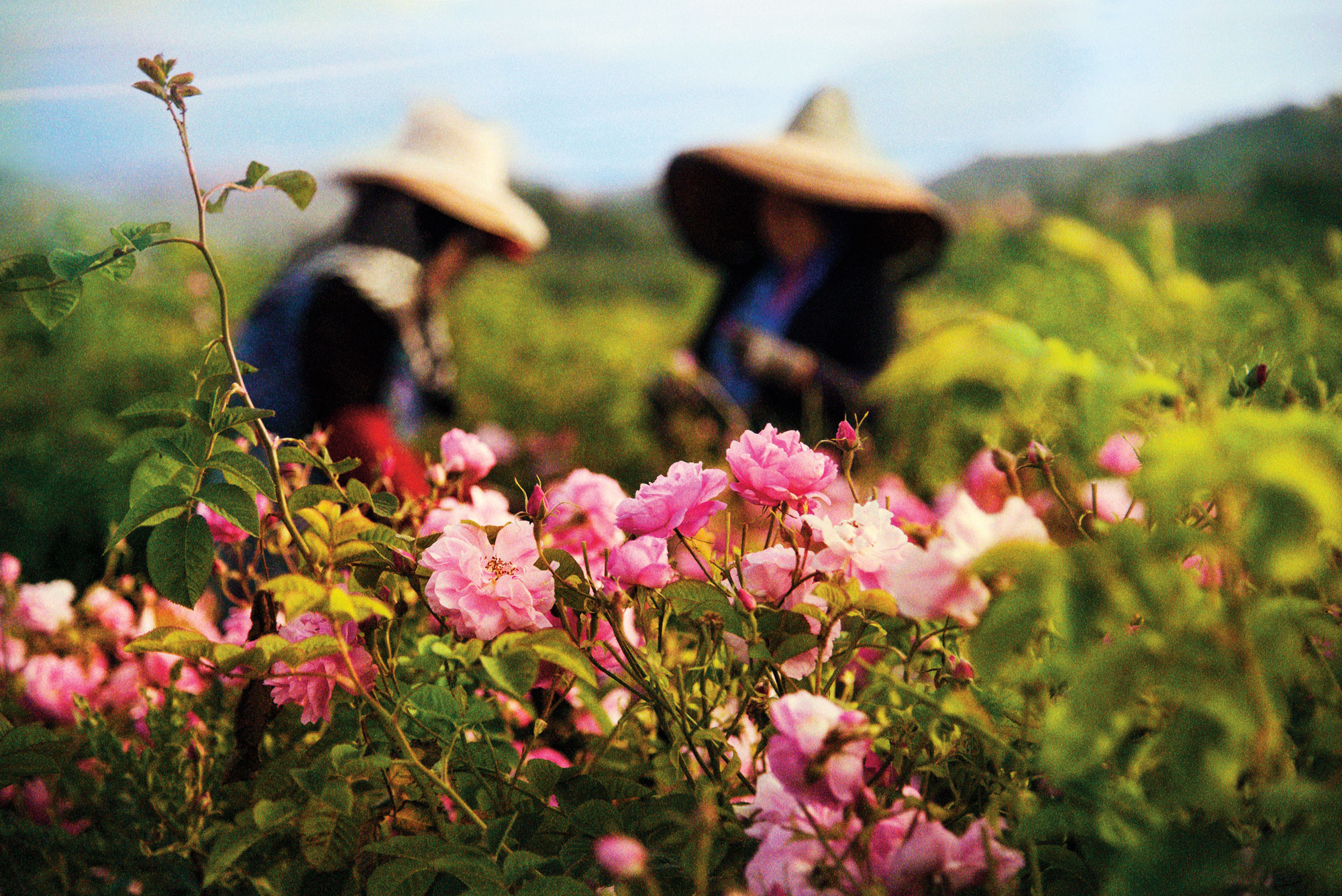 The Flowers that Make Chanel No. 5 | The New Yorker