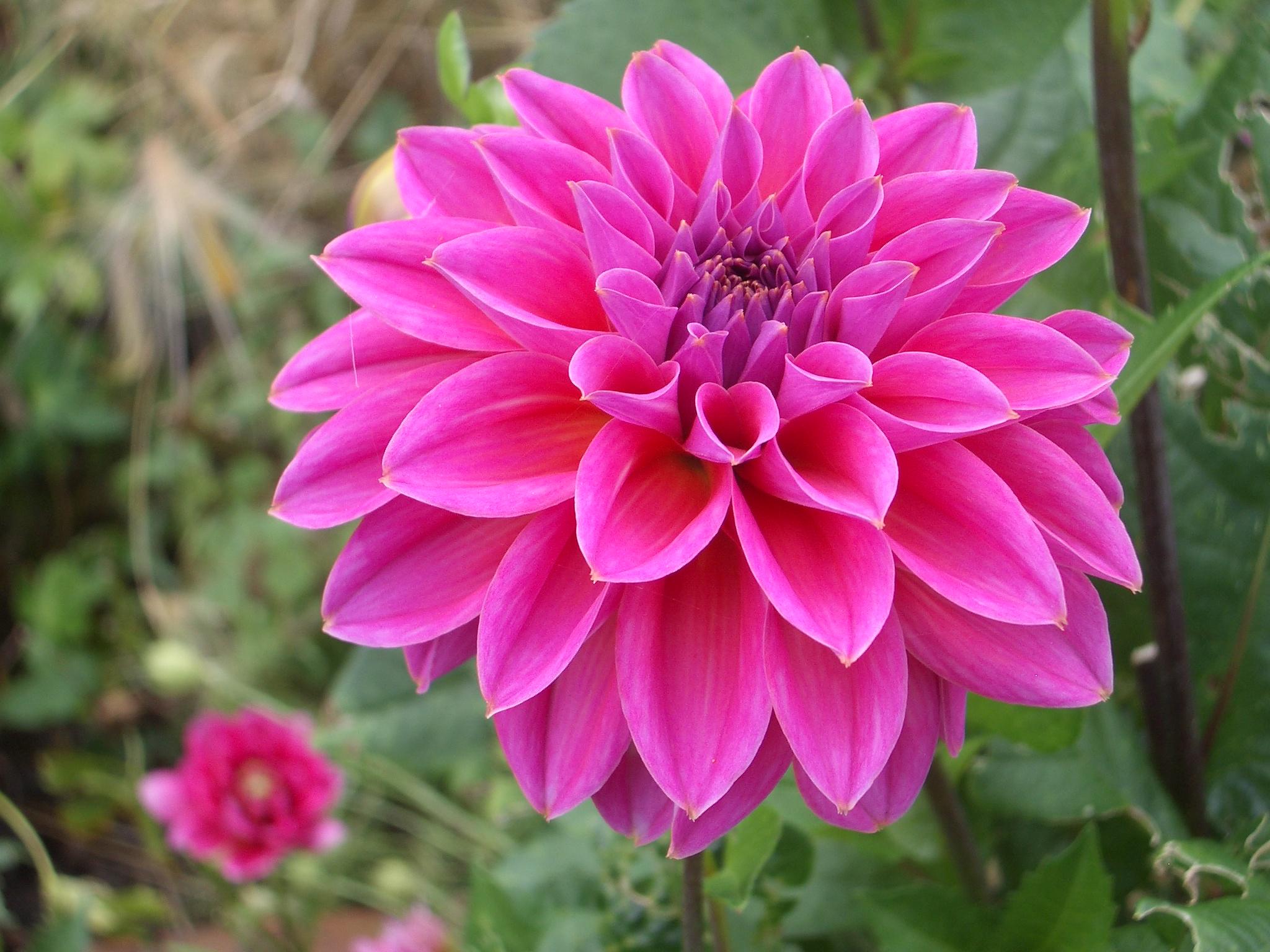 free photo red petaled flower macro nature hd wallpaper free