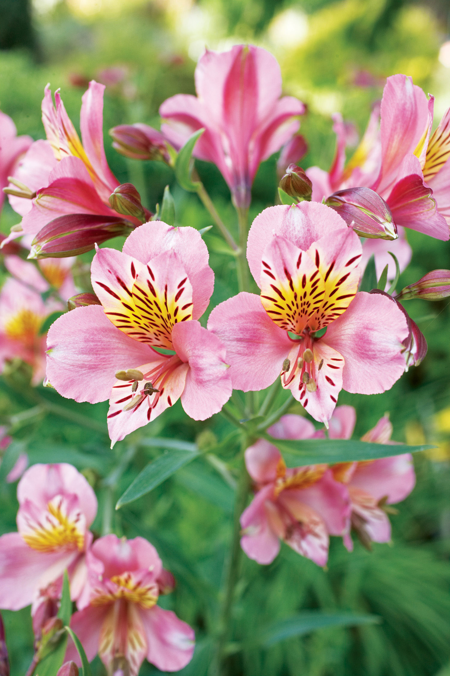 15 Favorite Perennial Flowers - Sunset Magazine