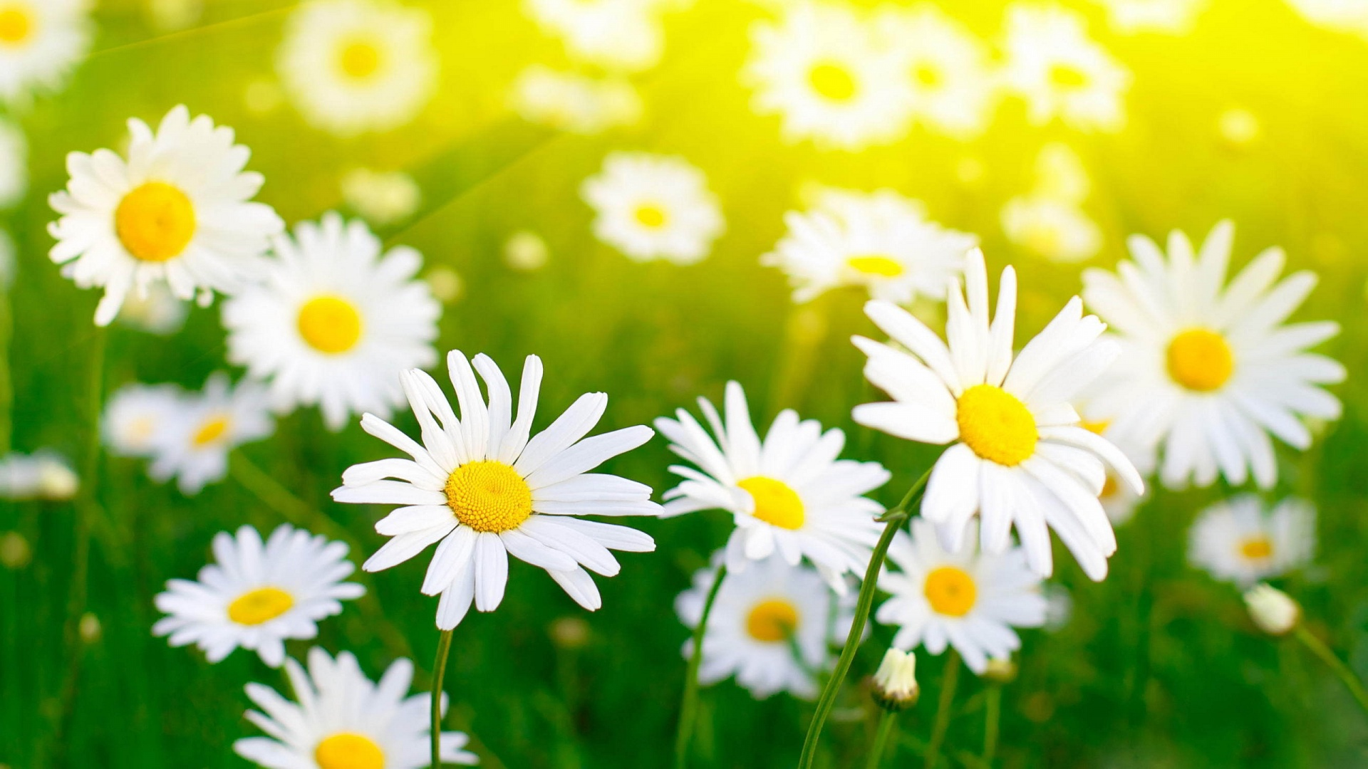 Download White Flowers 7708 1920x1080 px High Resolution Wallpaper ...