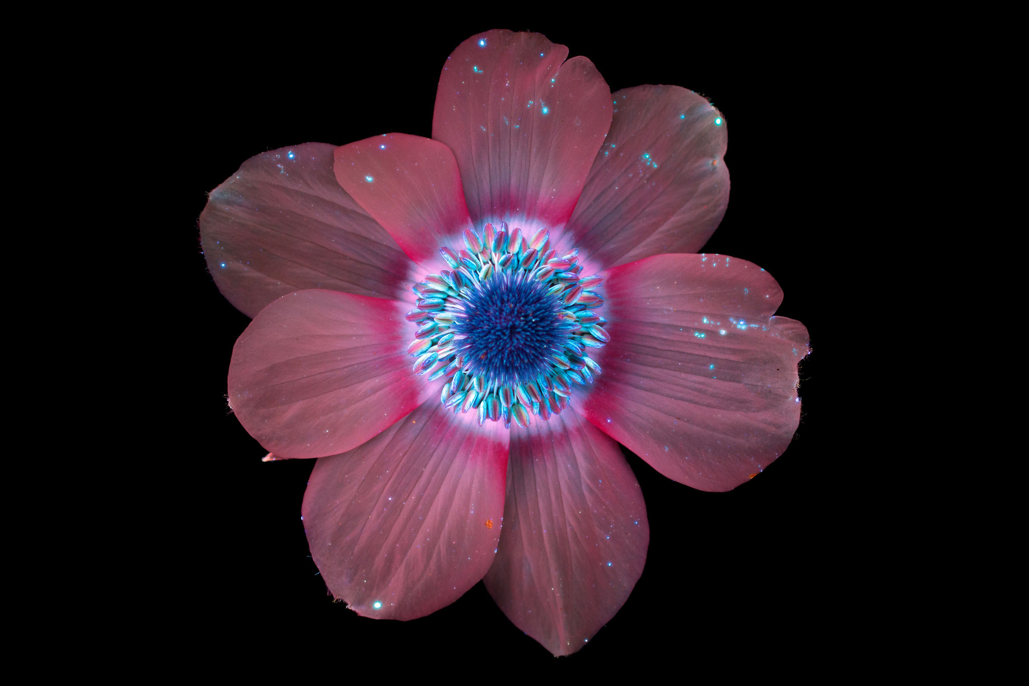 Pictures: Flowers Glow Under UV-Induced Visible Fluorescence