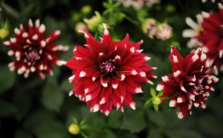 Dahlia Flower Garden - comousar