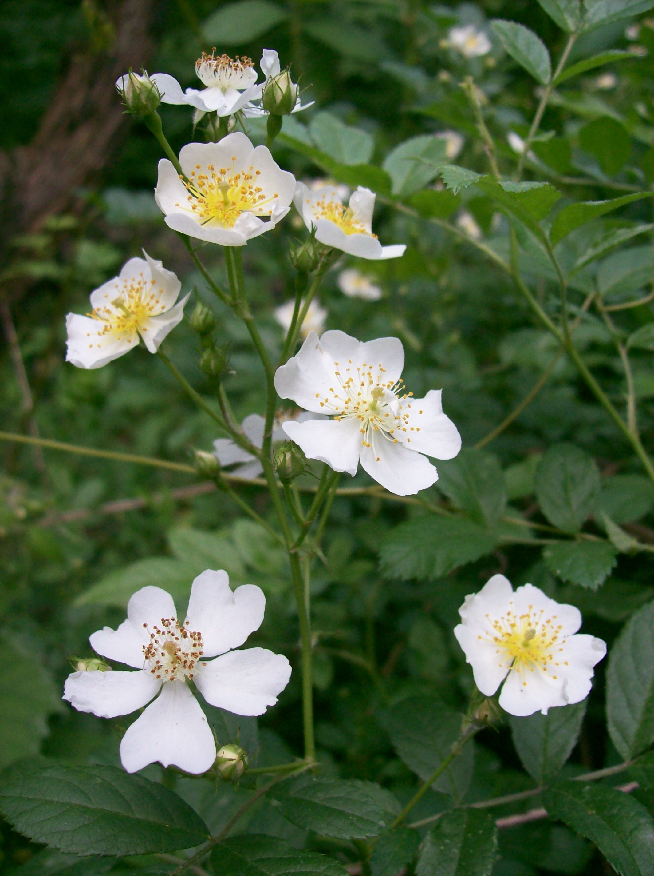 Plant With Small White Flowers And Thorns Best Image Of Flower