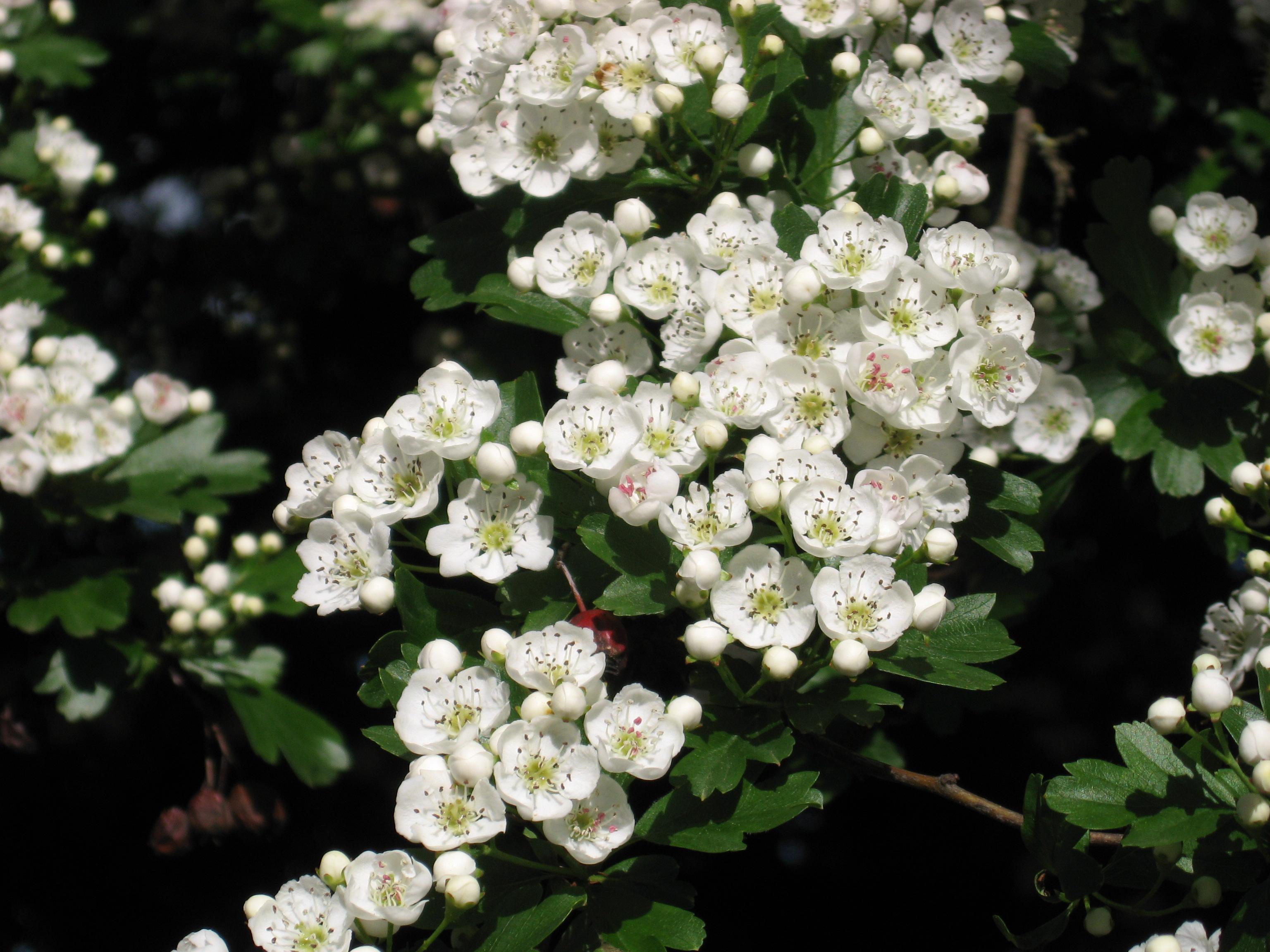 Free Photo Flowers White Thorn White Thorn Green Non