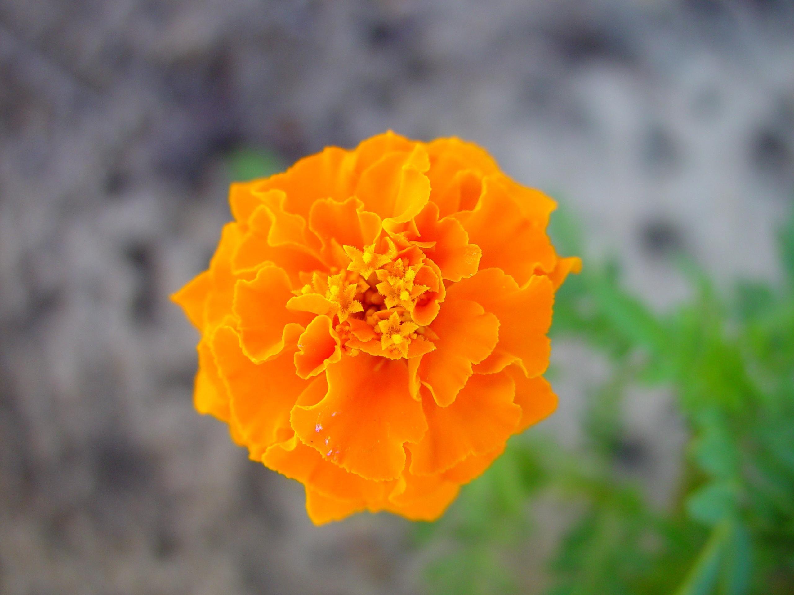 File:Brilliant orange flowers within flowers.jpg - Wikimedia Commons