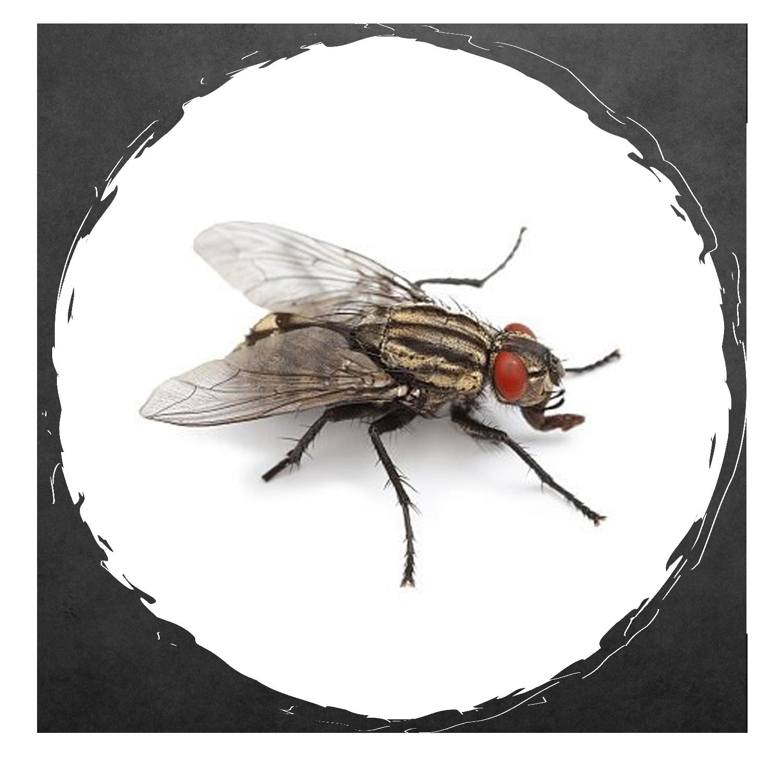 Exodus Exterminating- Flies | Exodus Exterminating Inc.