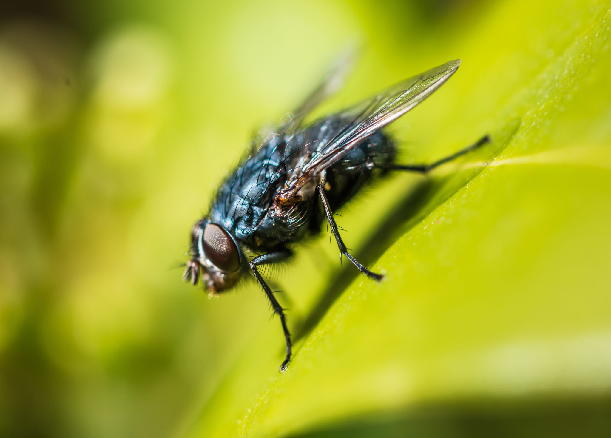 The Characteristics of Diptera