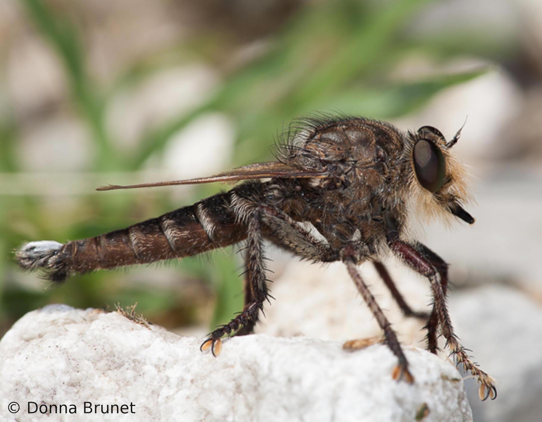 Robber Flies Assassin Flies | MDC Discover Nature