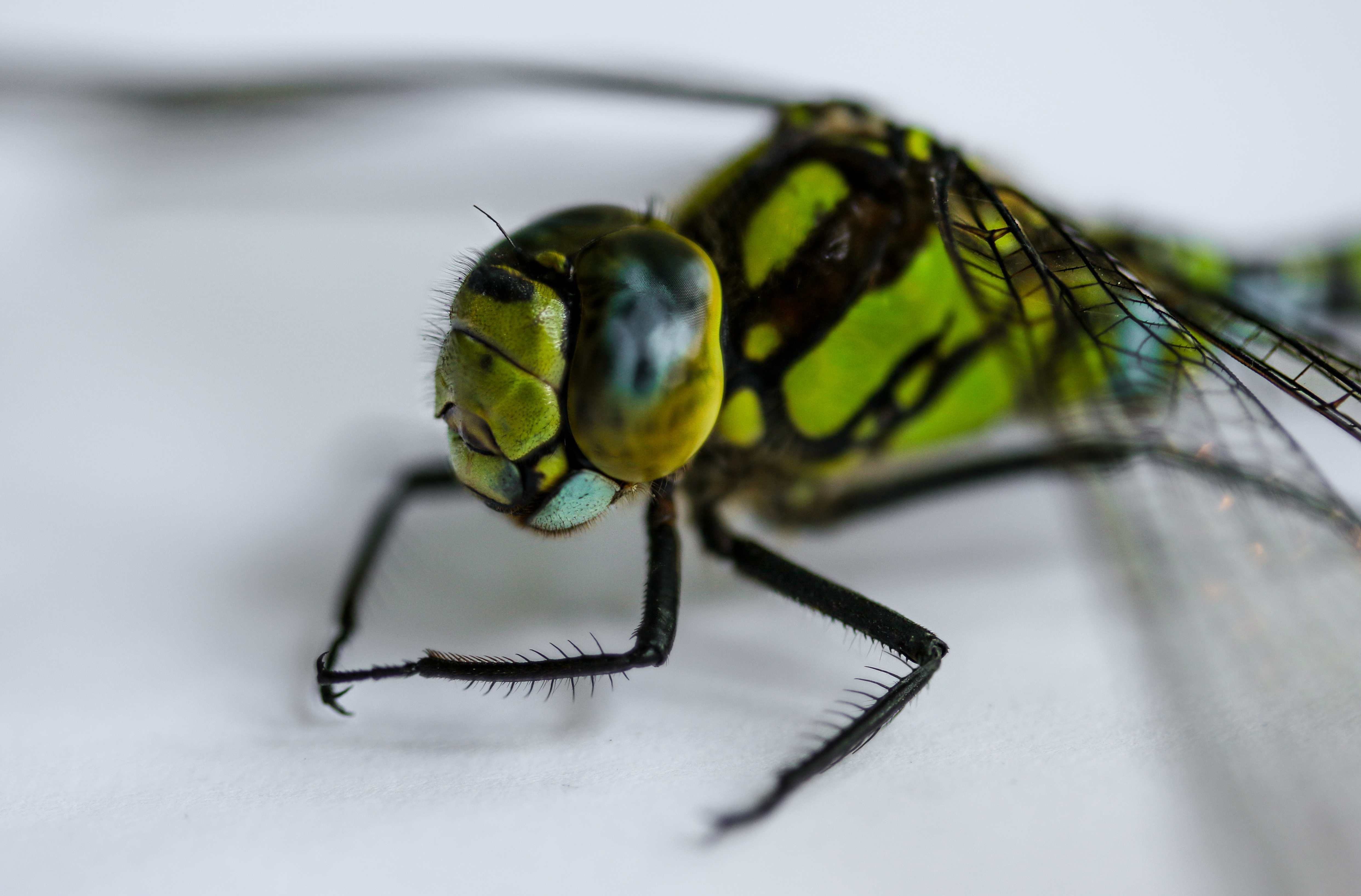 Fly Closeup, Animal, Fly, Insect, Jungle, HQ Photo