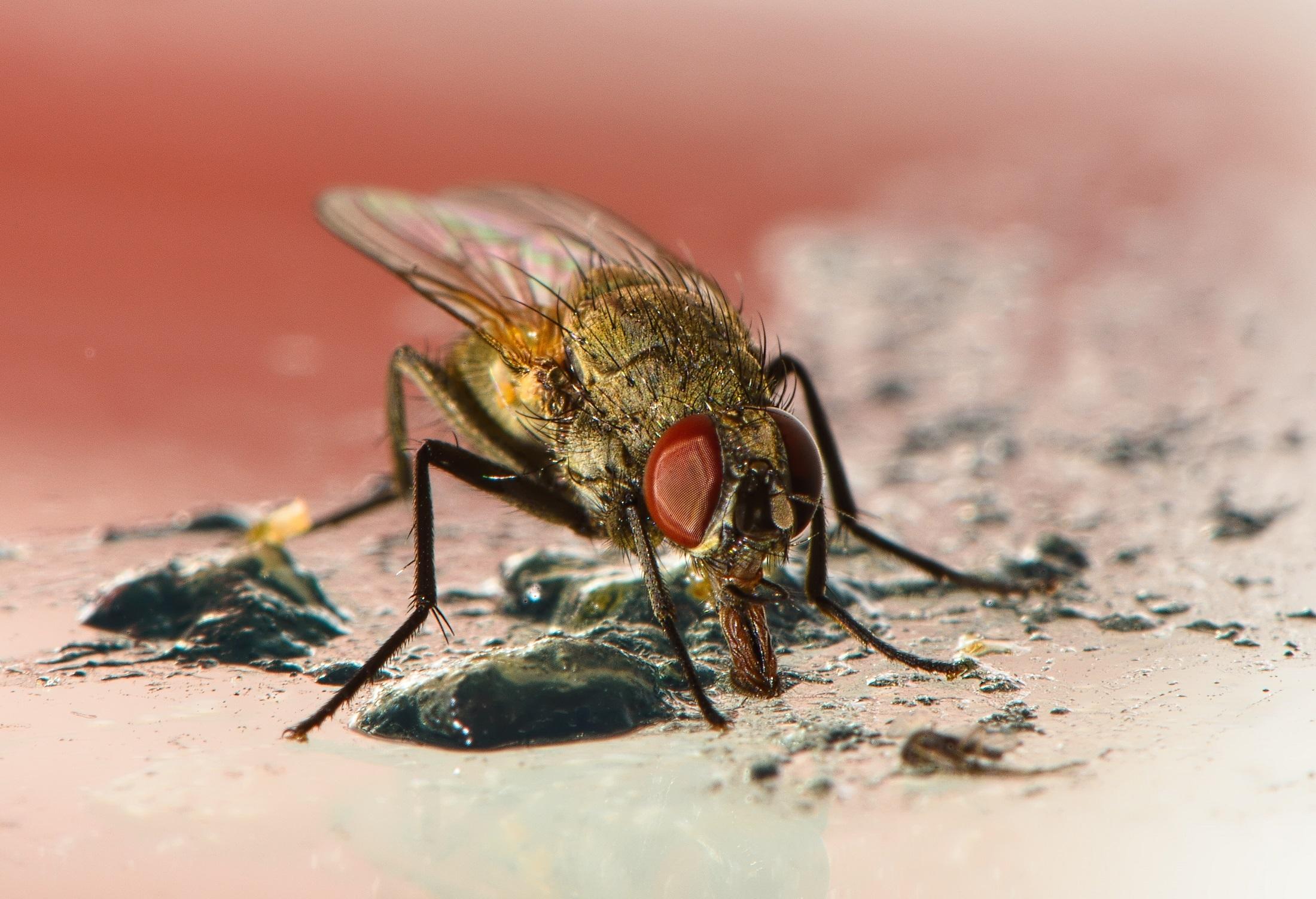 Fly closeup photo