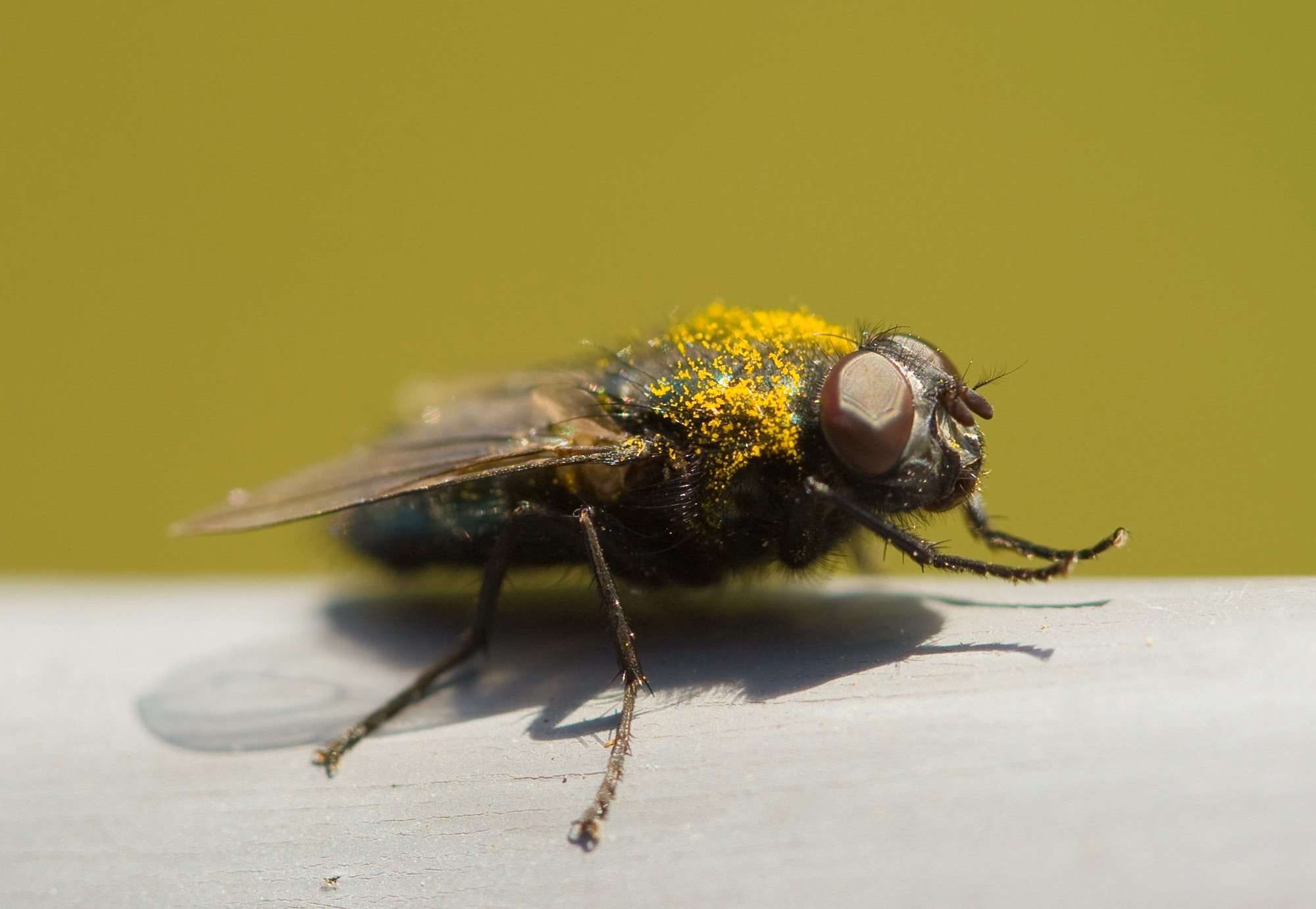 Fly macro, Legs, Macro, Nature, Yellow, HQ Photo
