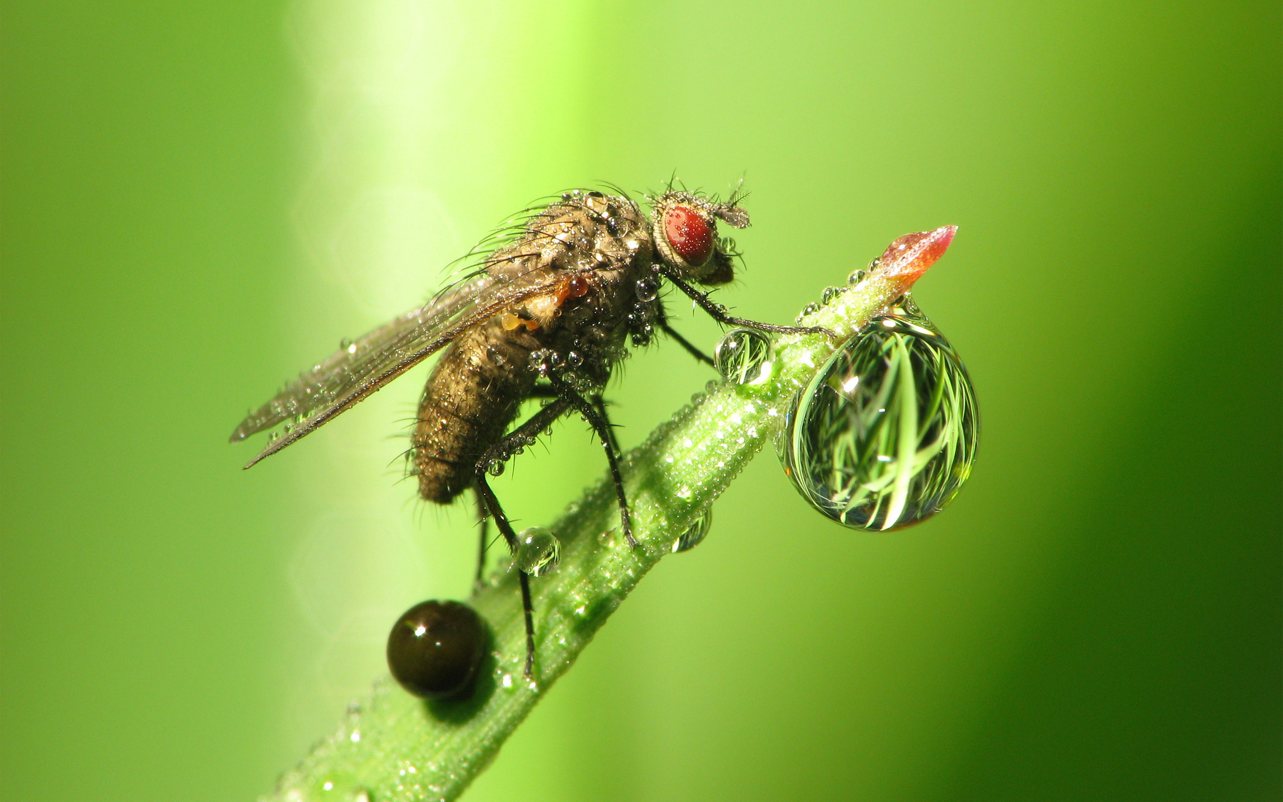 The fly with drops / 2560 x 1600 / Macro / Photography | MIRIADNA.COM