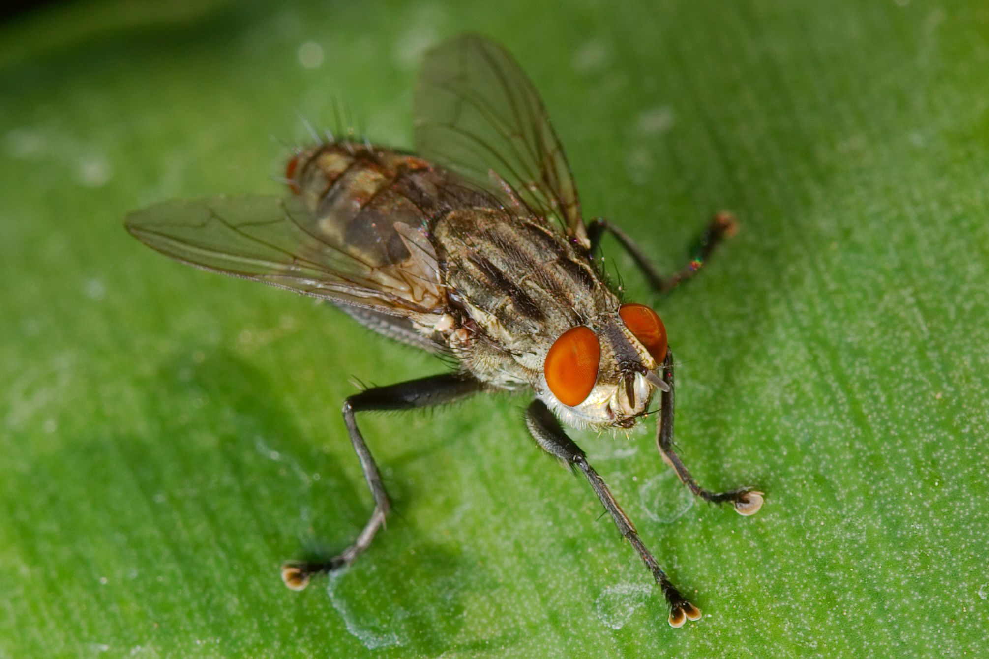 File:Sarcophagid fly macro.jpg - Wikimedia Commons