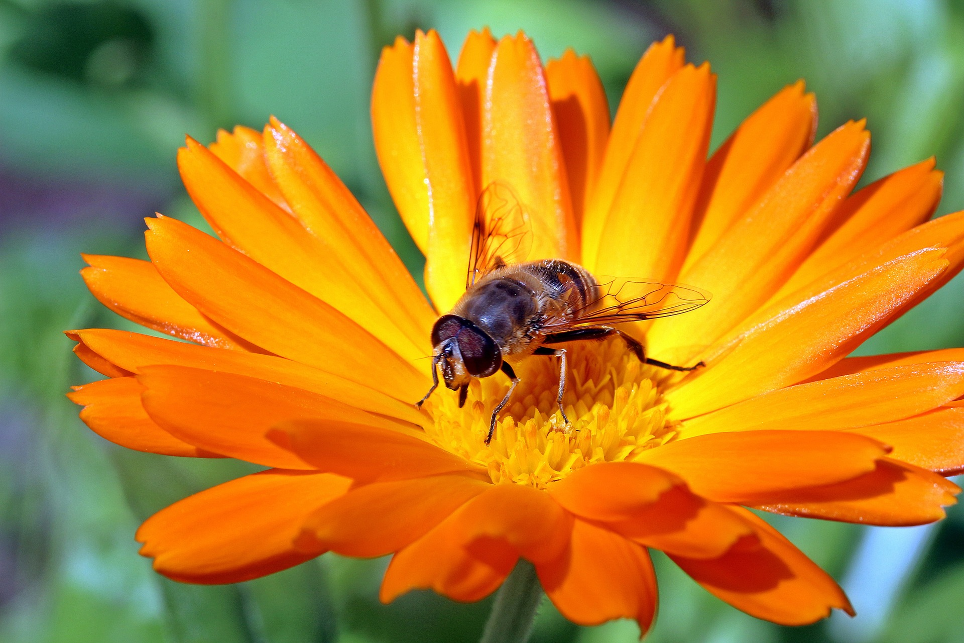 Fly on  marigold, Animal, Blooming, Flower, Fly, HQ Photo