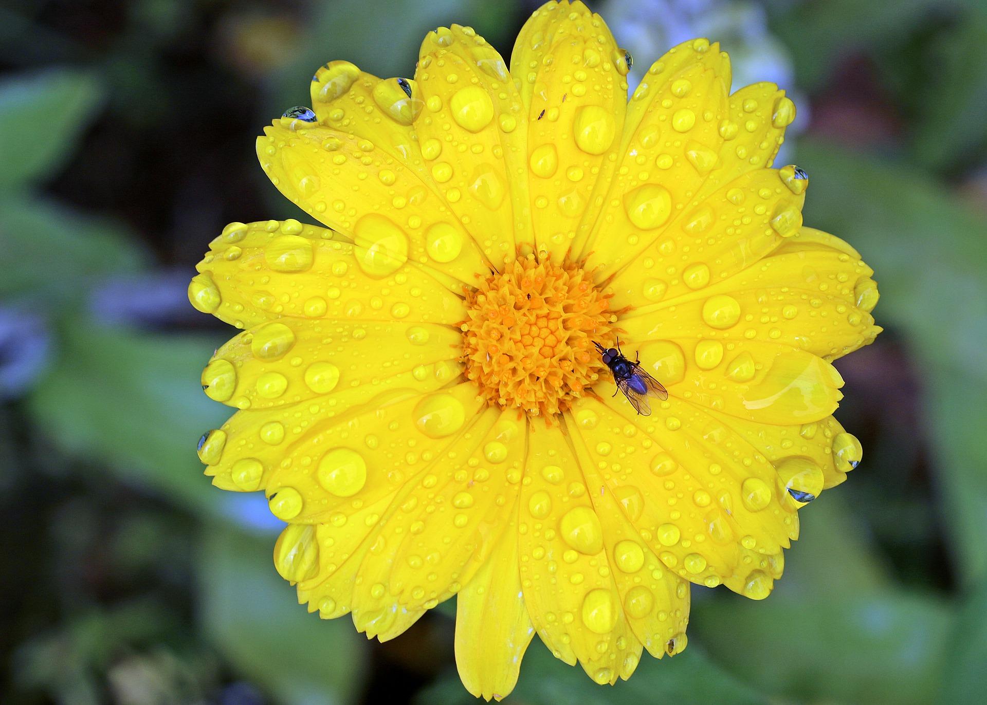 Fly on  marigold photo