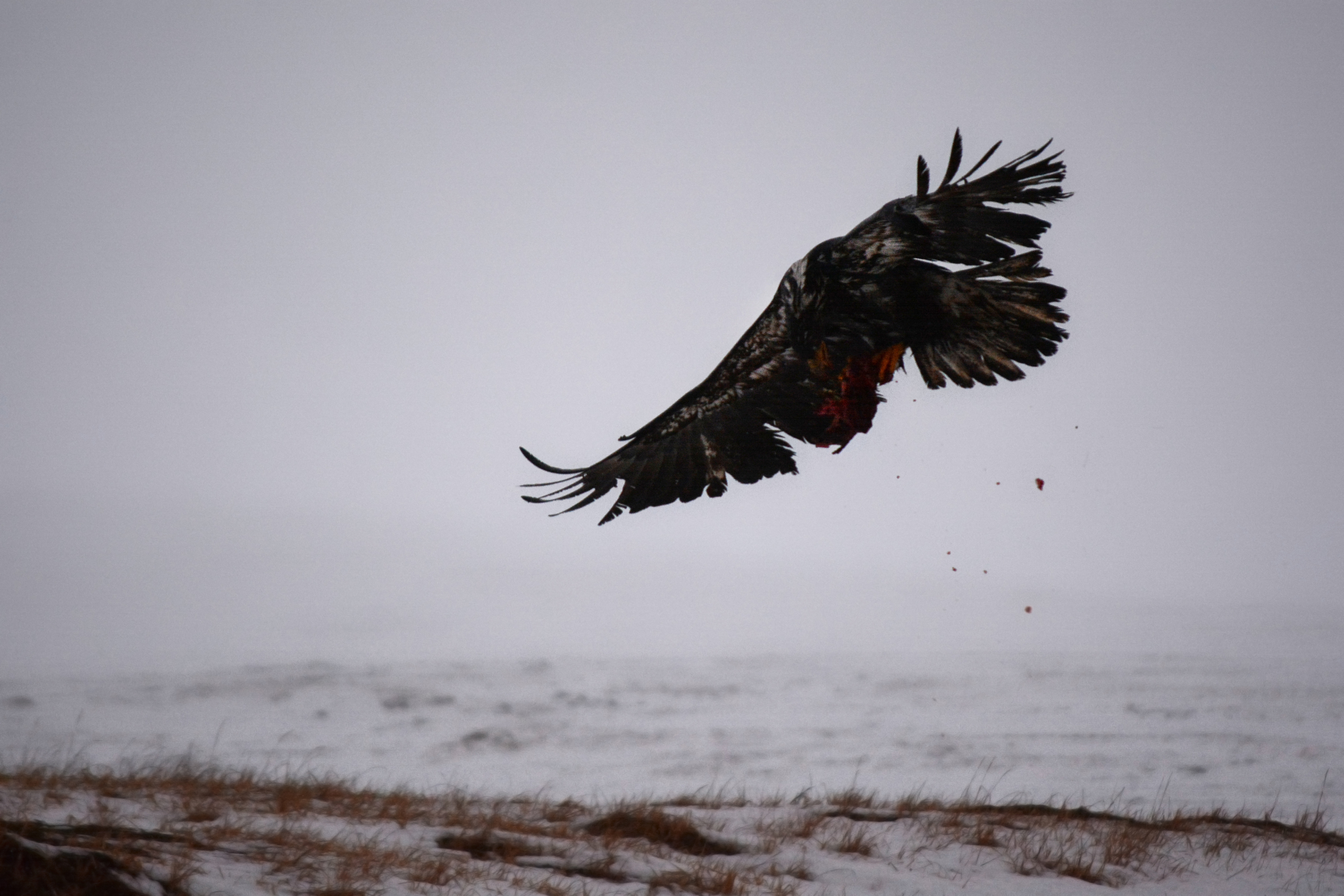 File:Eagle flying away with caribou offal on Adak Island. Aleutian ...