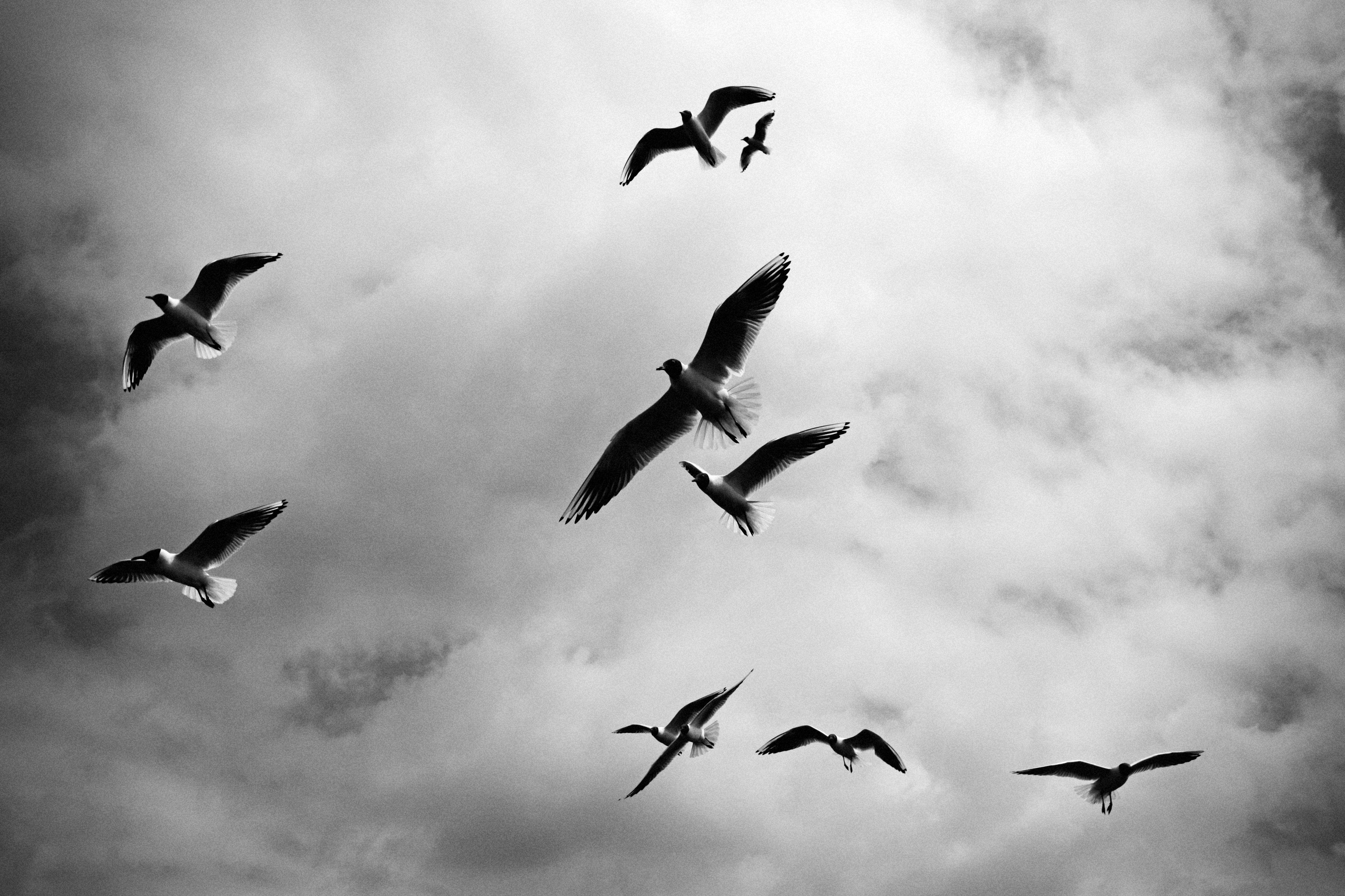 Flying Birds, Birds, Cloud, Cloudy, Fly, HQ Photo
