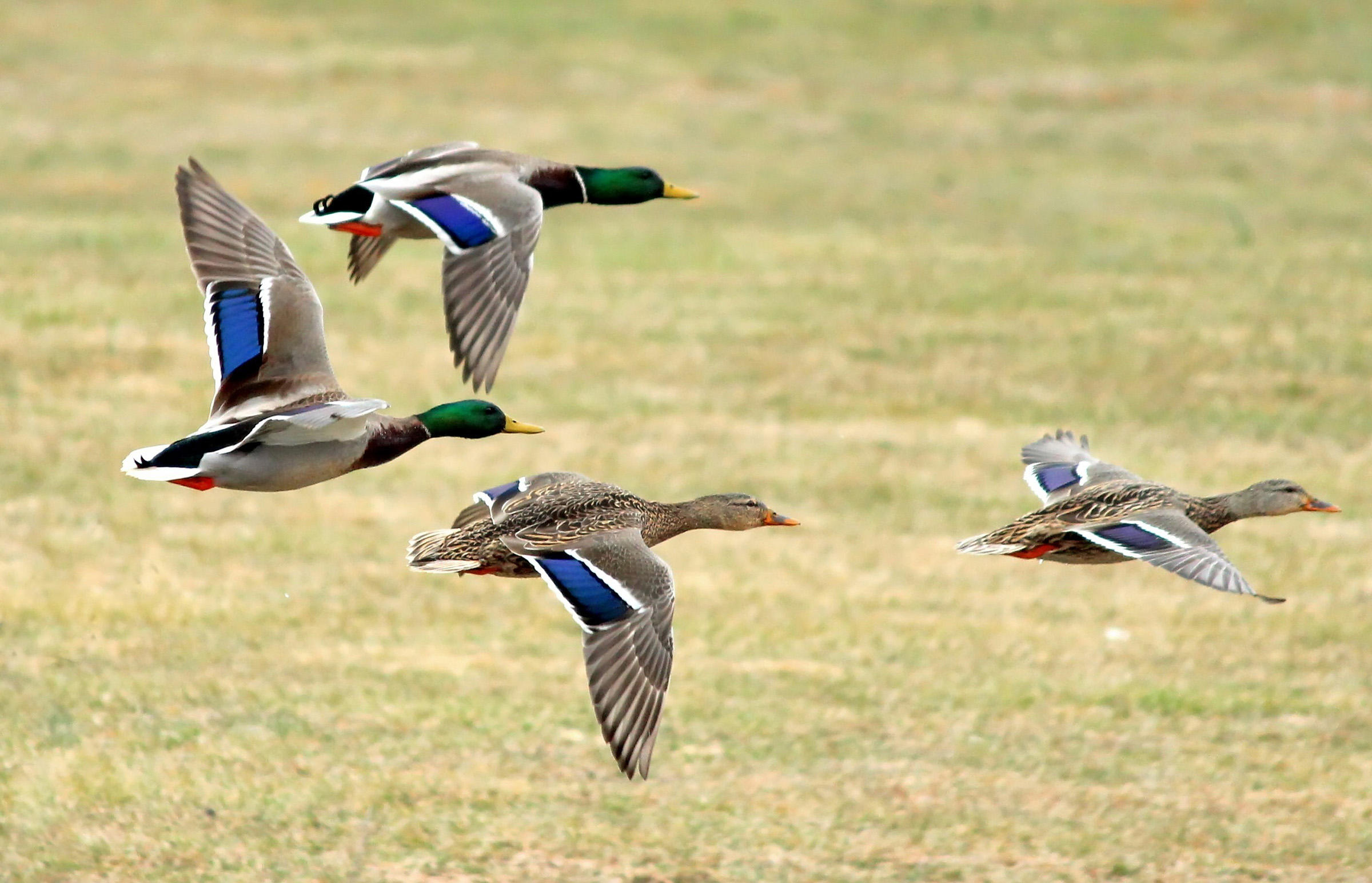 Free photo: Flying ducks - Sky, Wings, Free - Free Download - Jooinn